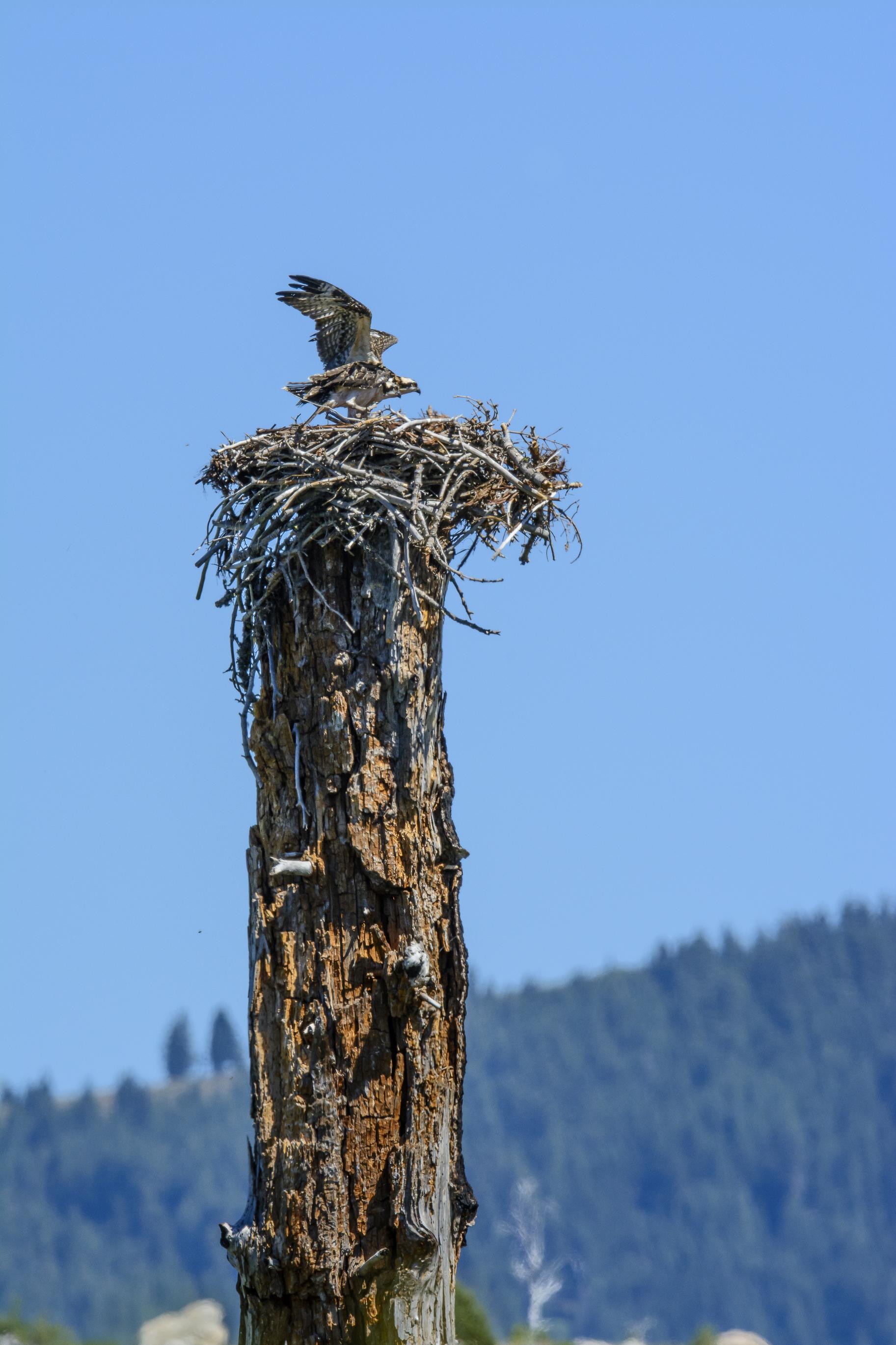 Osprey Nest-2527