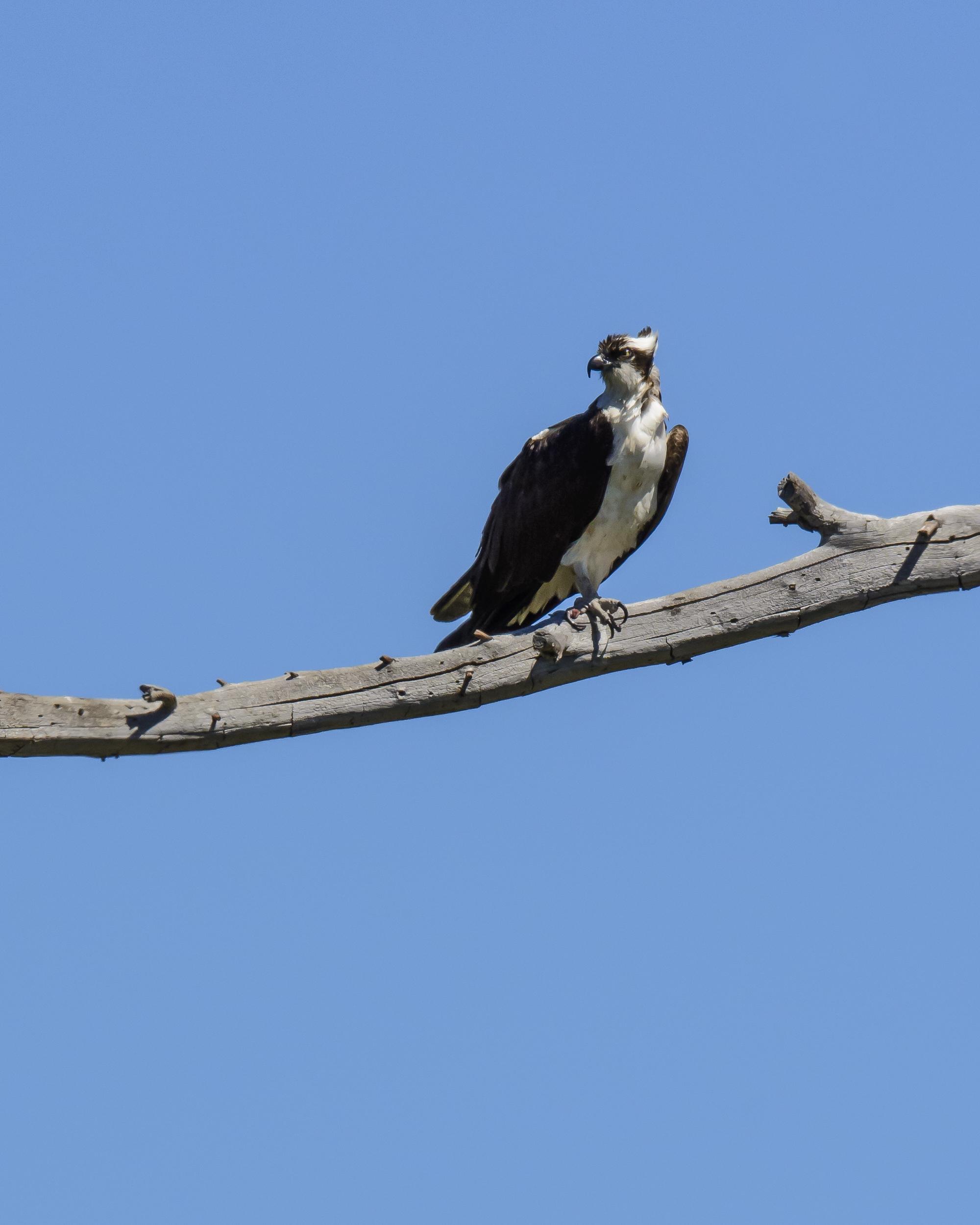 Osprey Nest-2805
