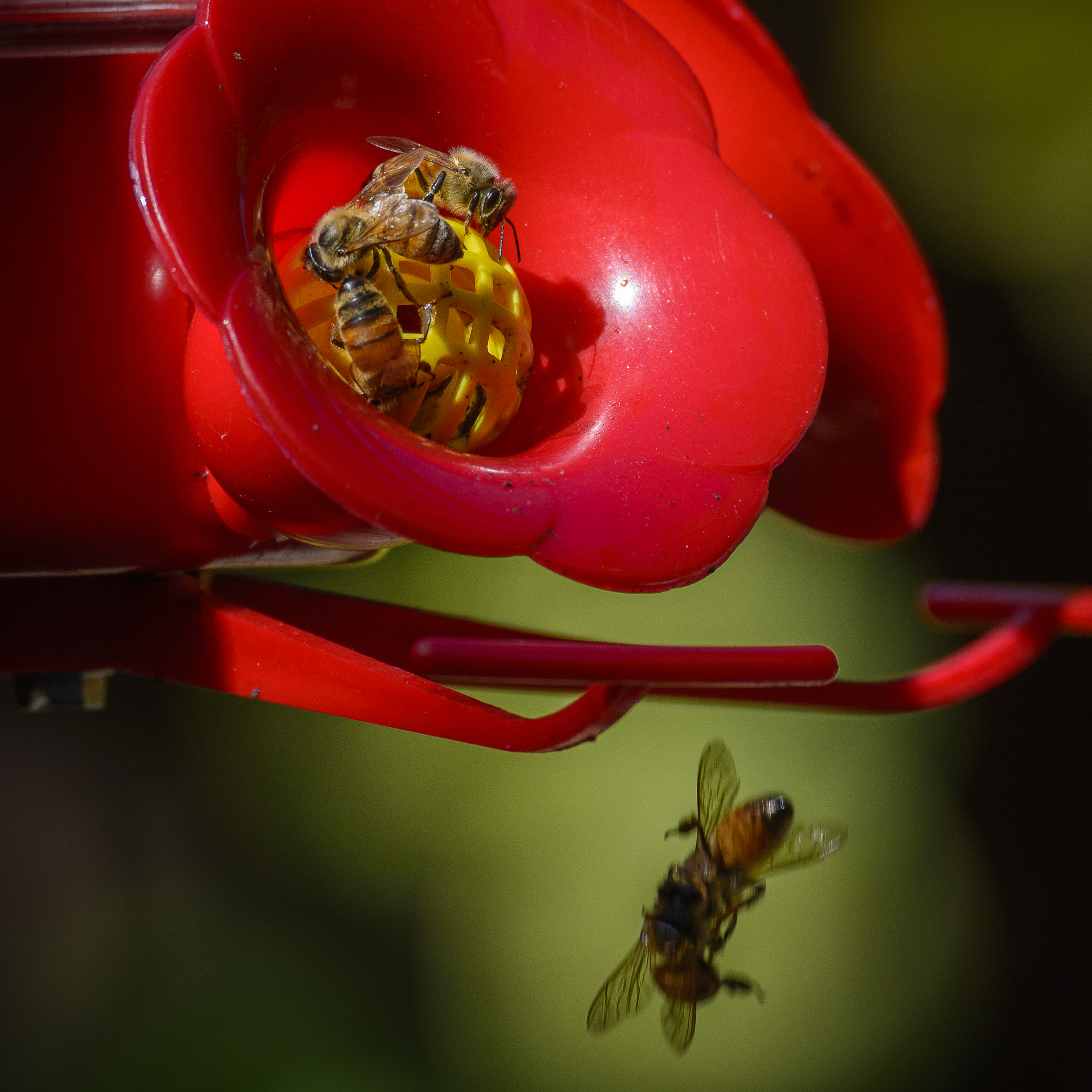 Bees -6301