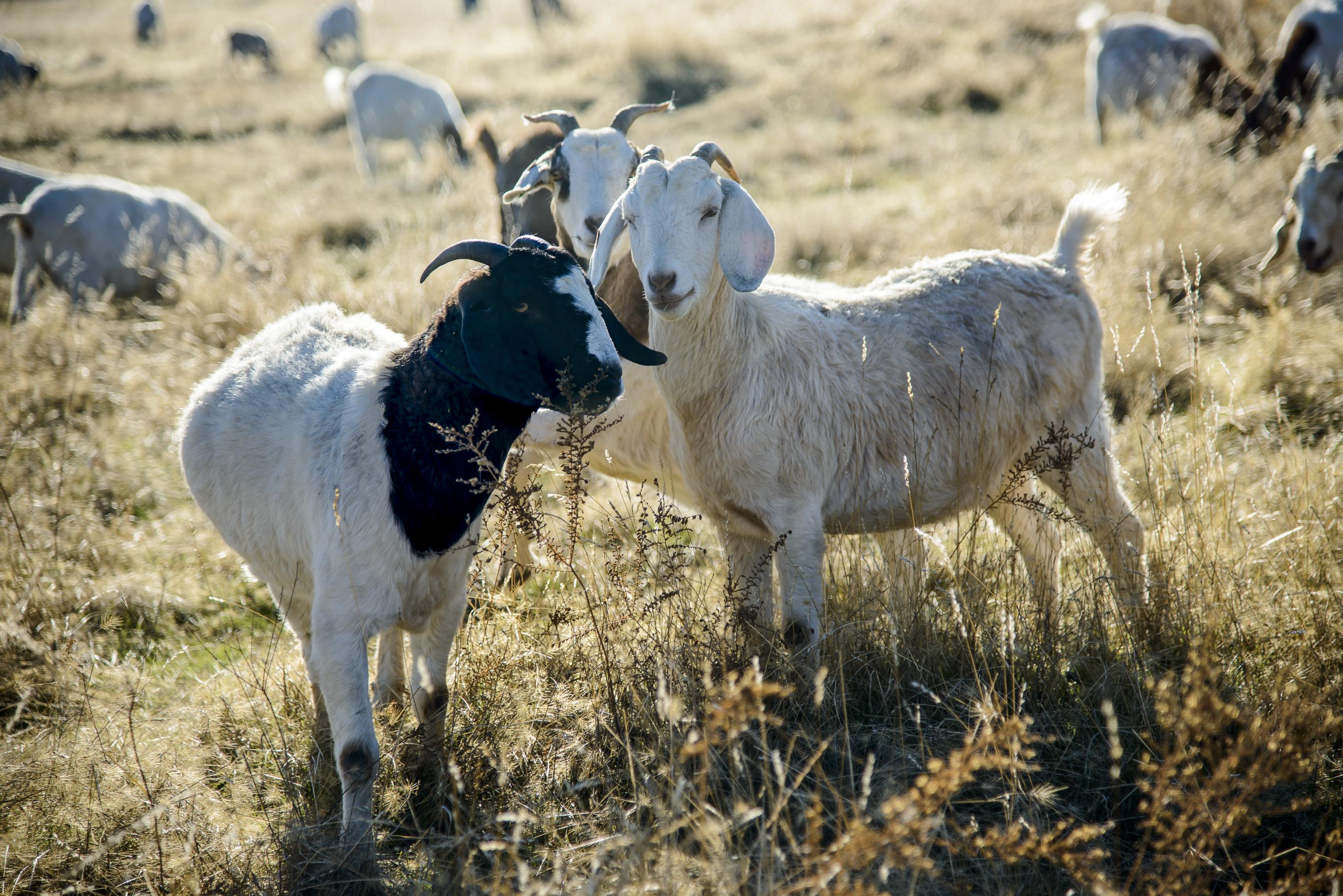 goats-0375