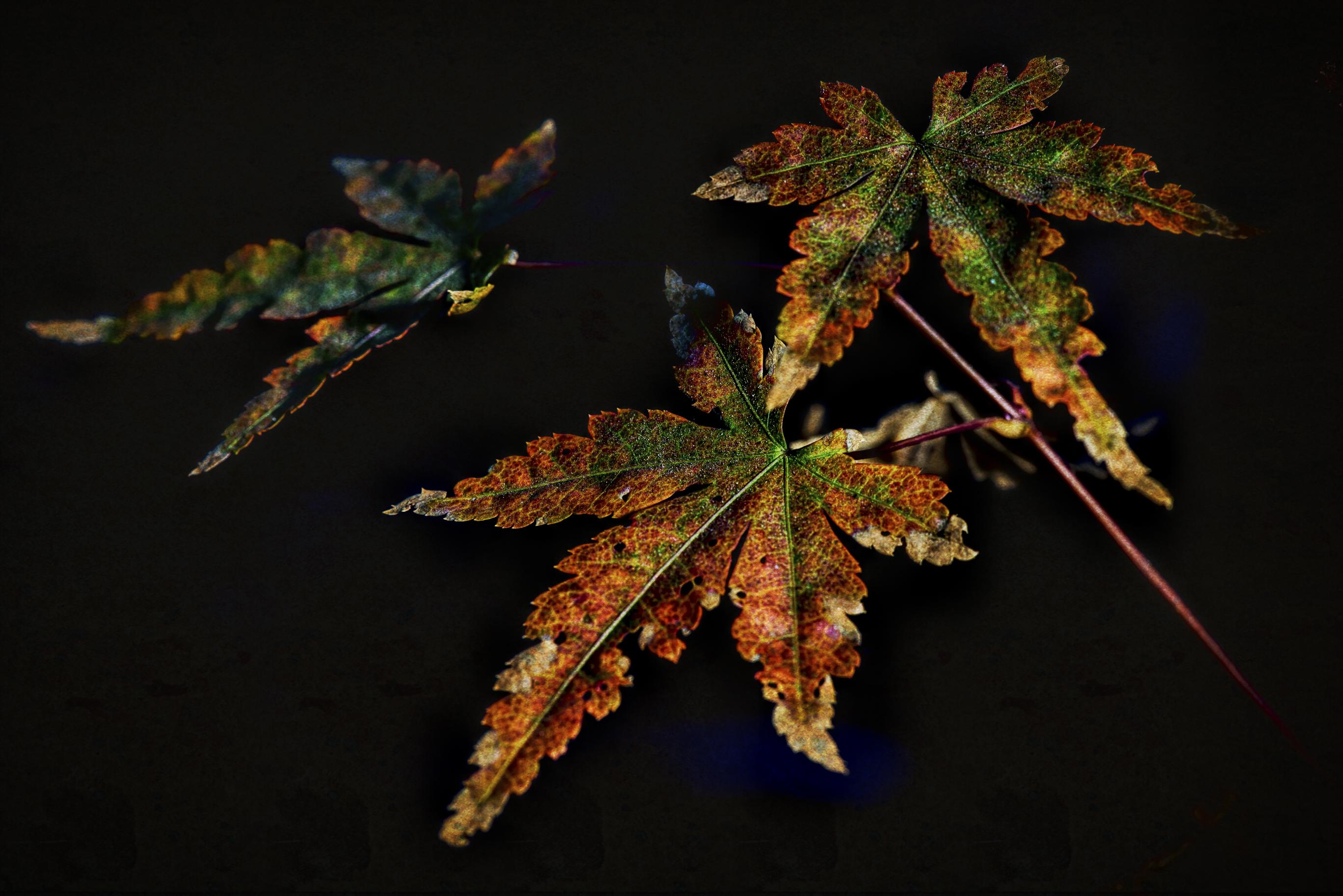 maple leaves-0627-Edit