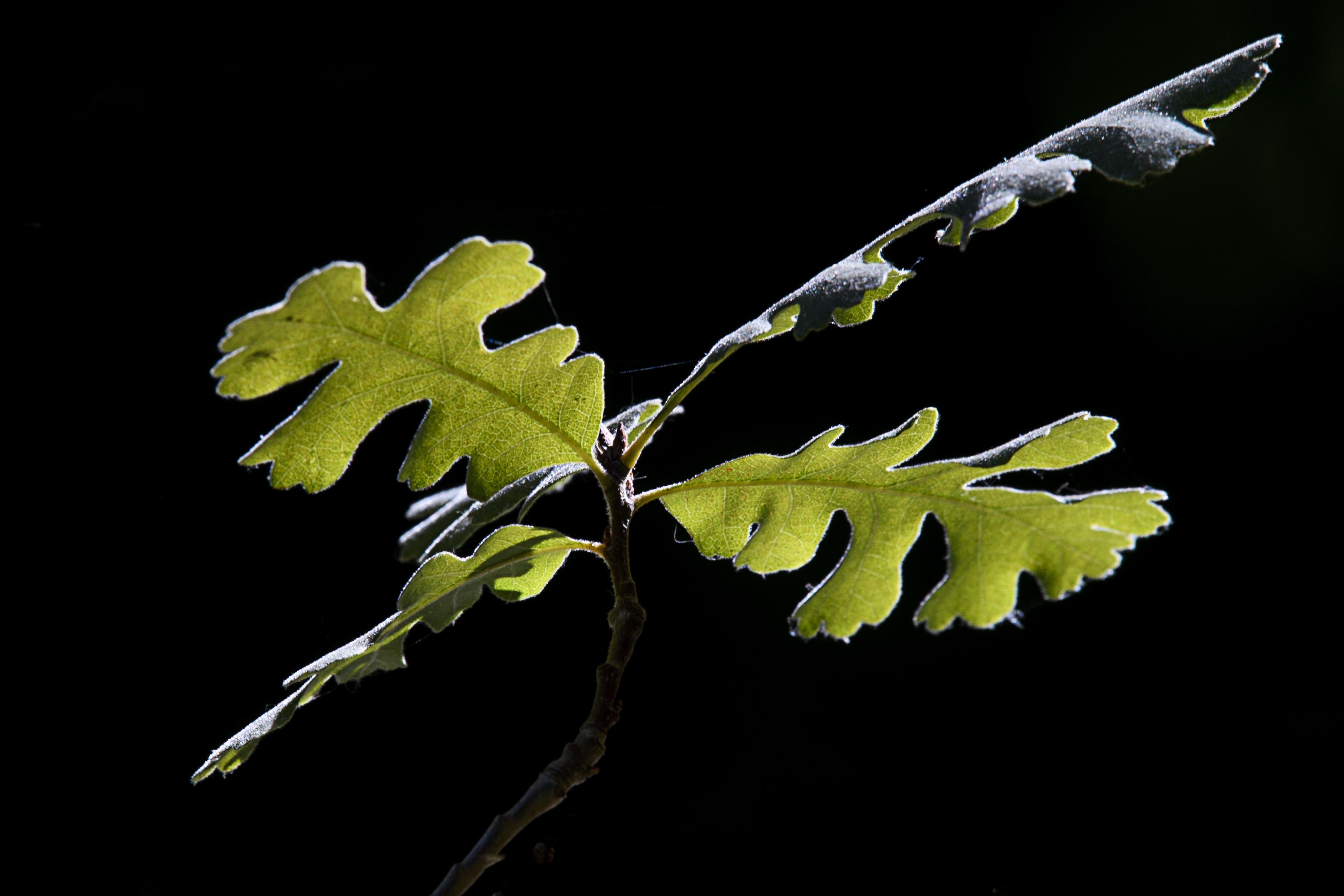 Backlit valley oak.jpg
