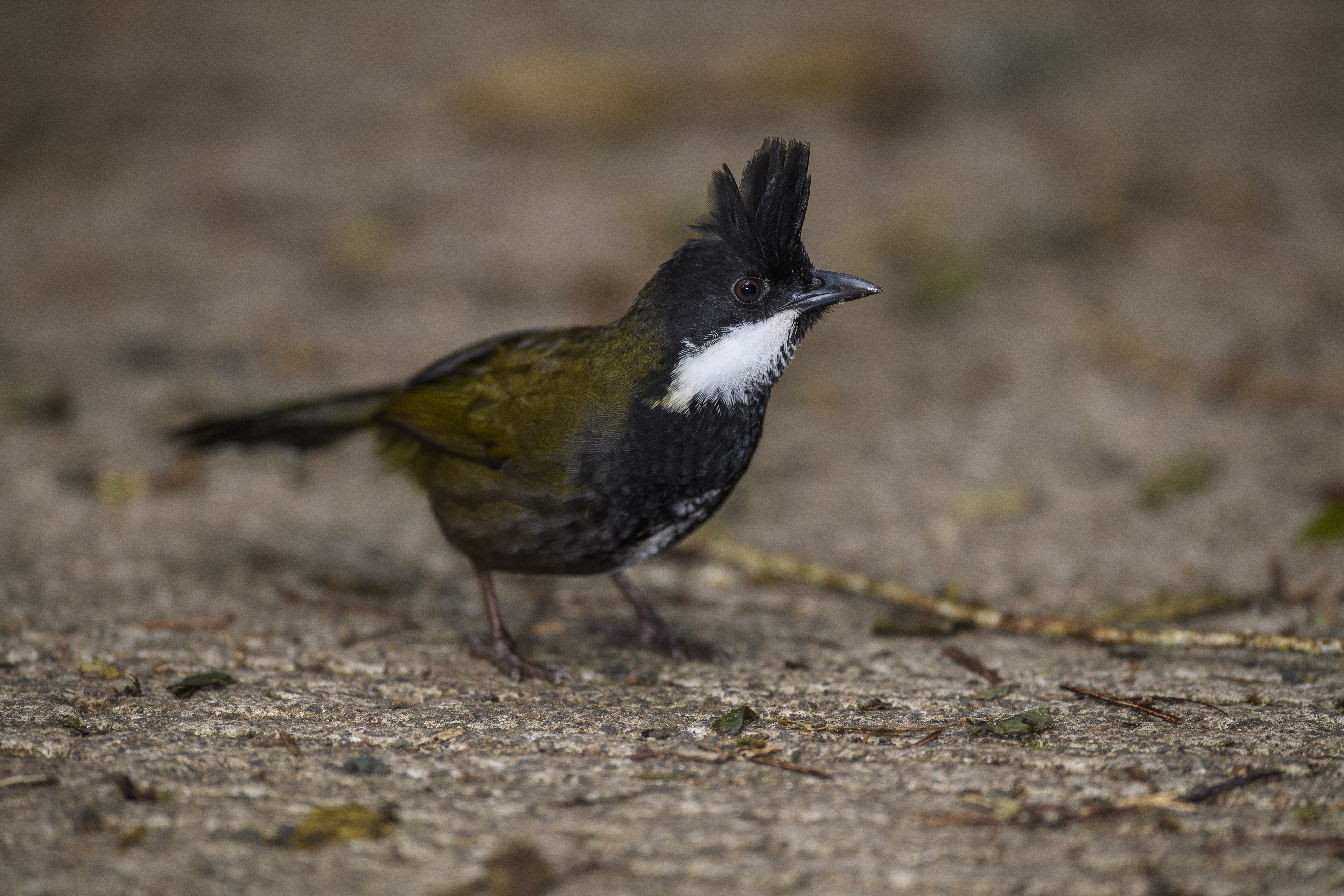 Eastern Whipbird looking right