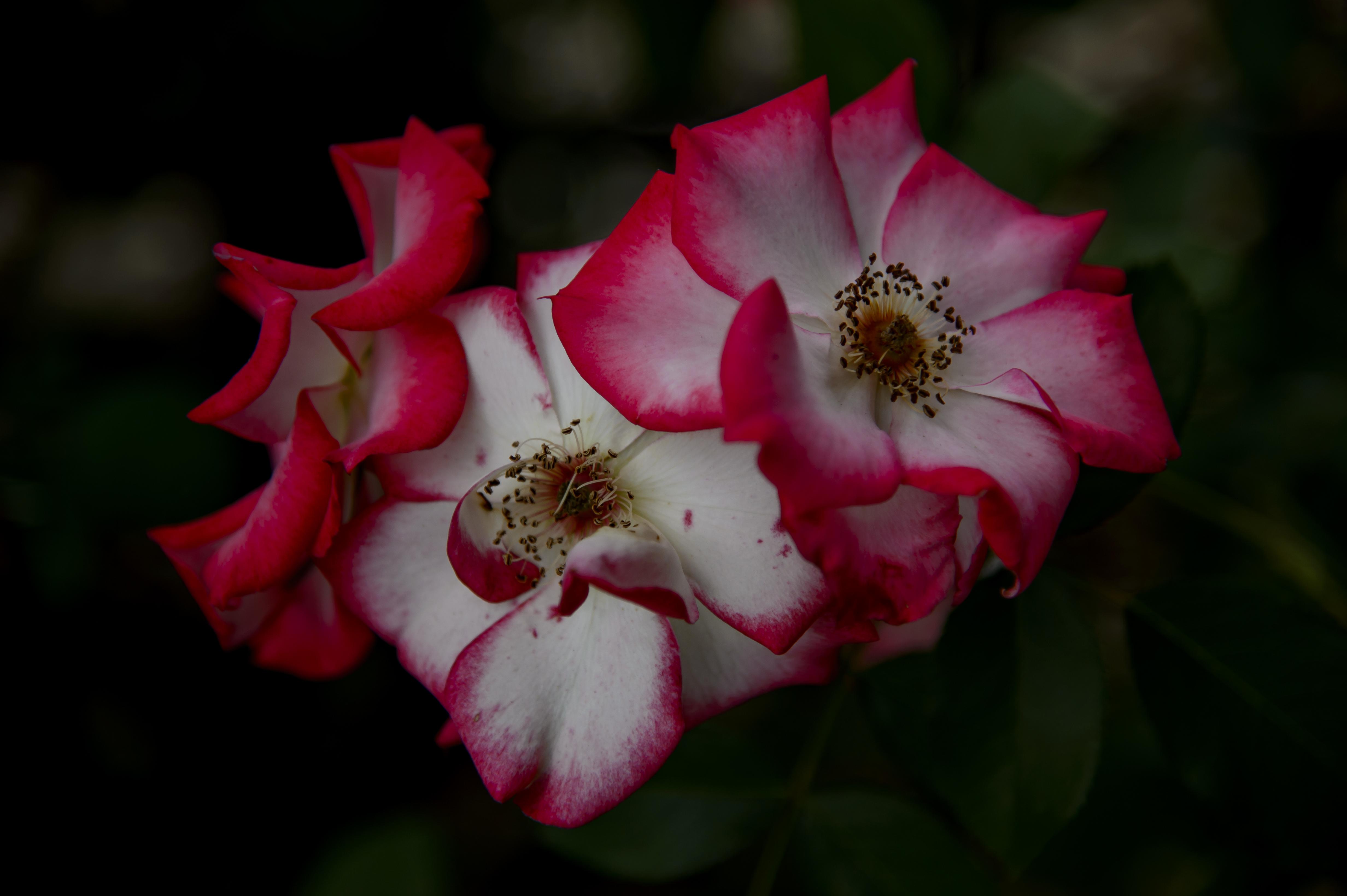 John's Rose 4