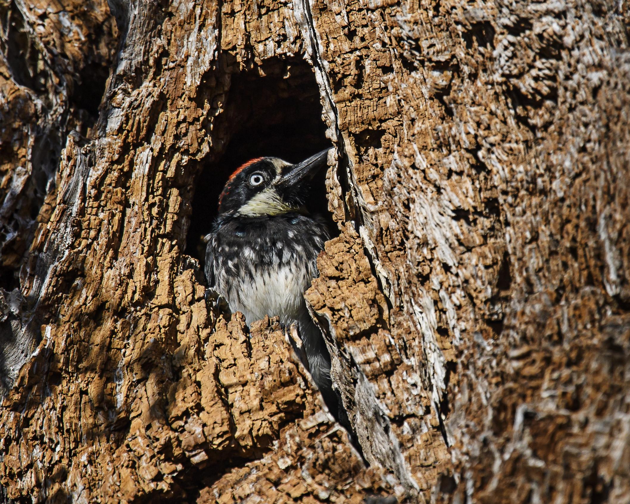 acorn-woodpecker-1