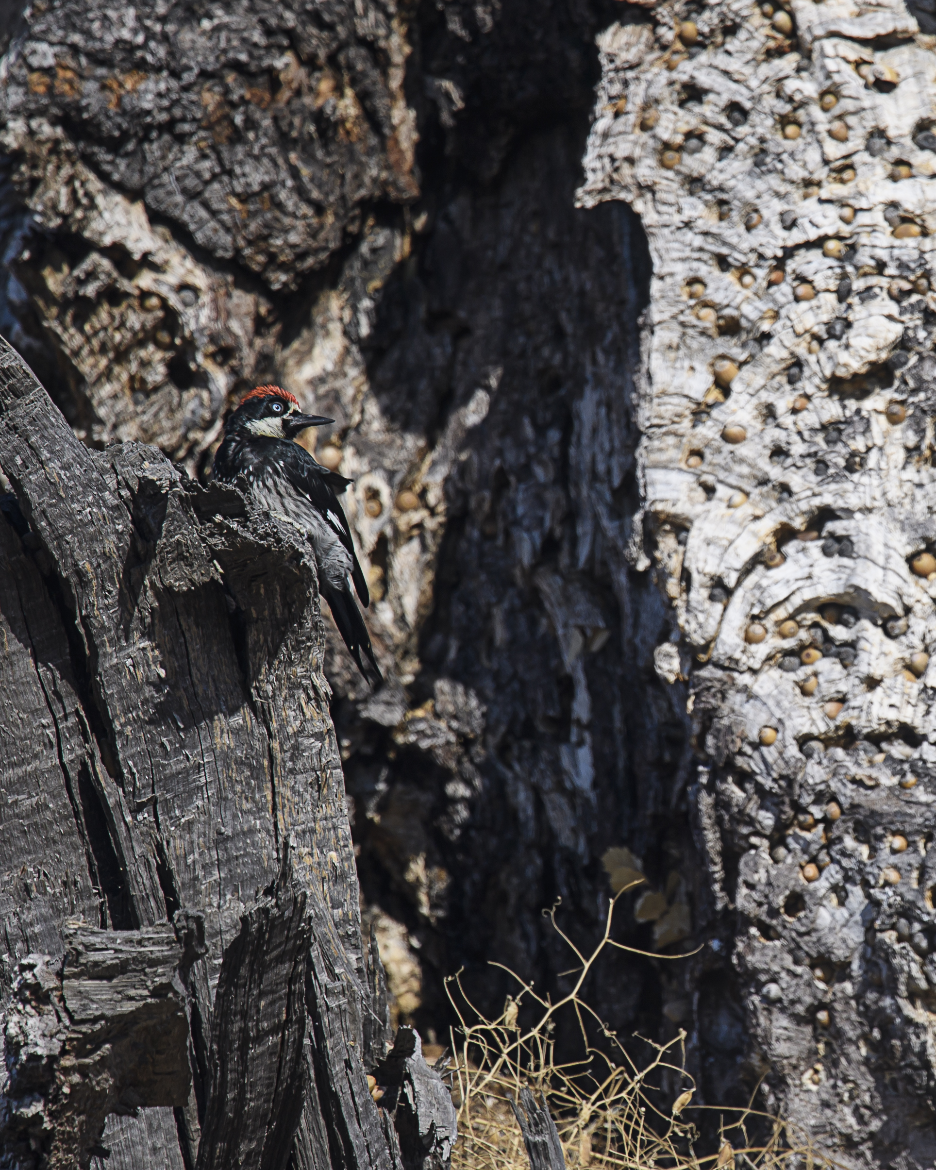 acorn-woodpecker-hoarding-2