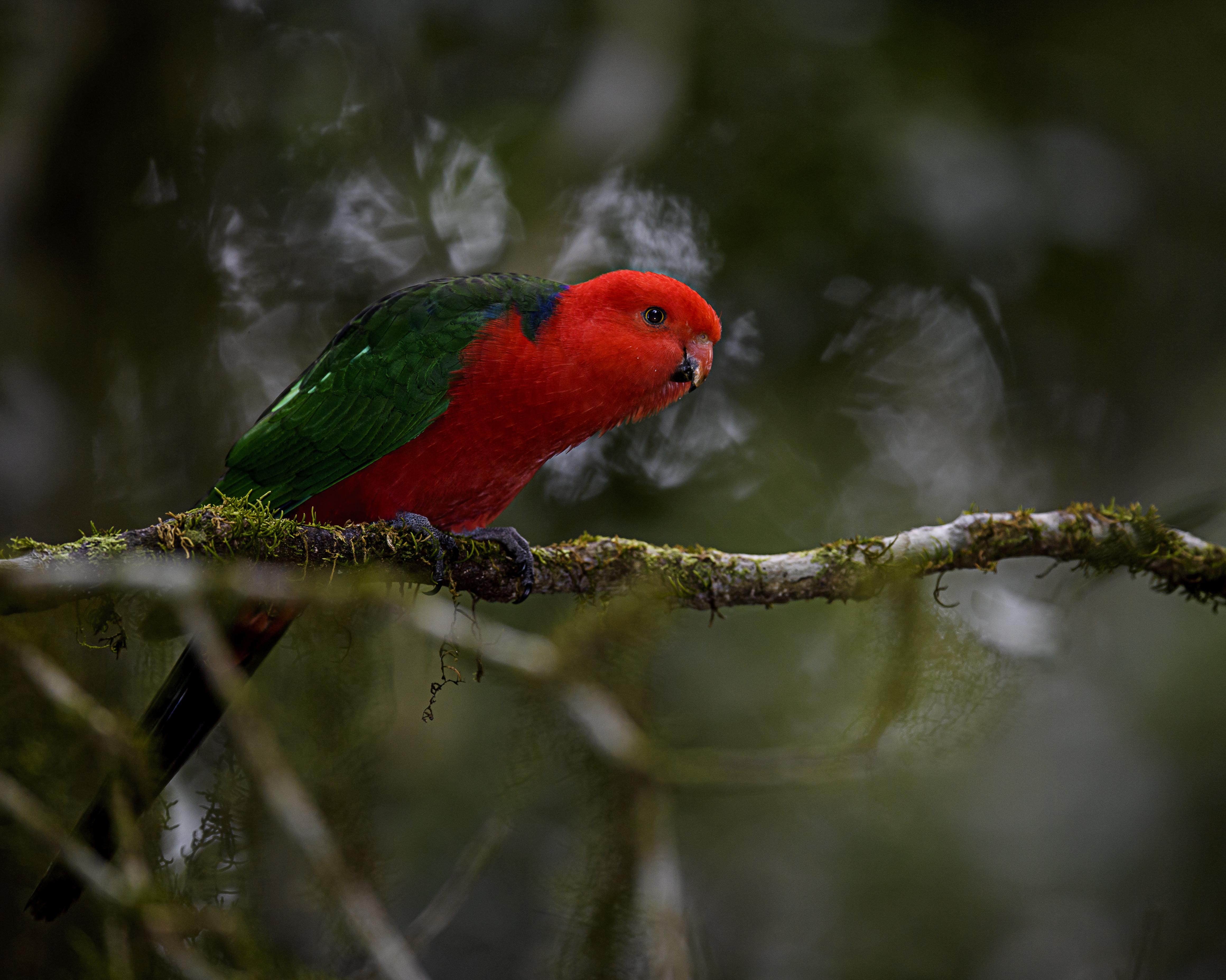 australian king parrot (female).jpg
