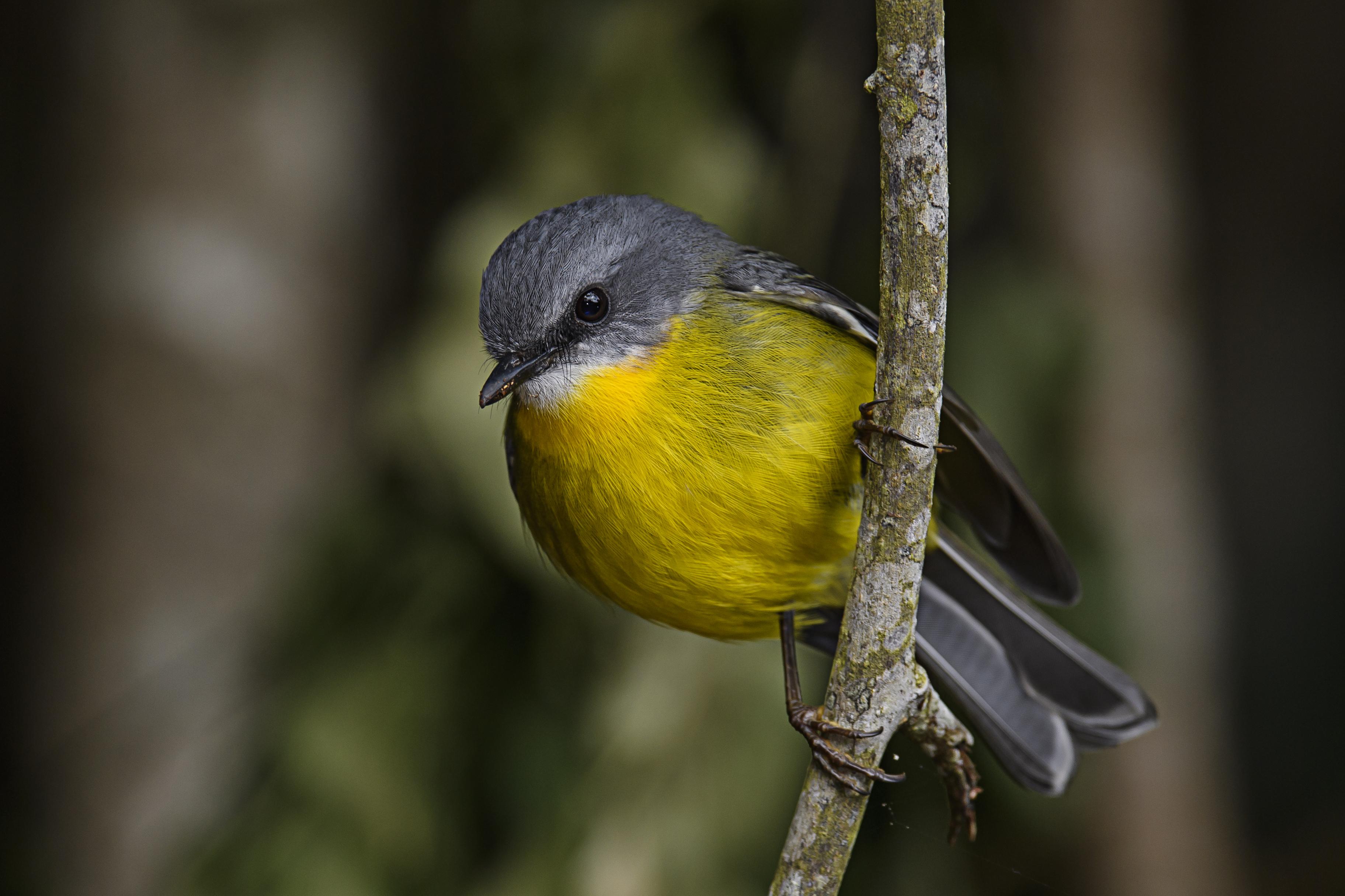 eastern-yellow-robin-2