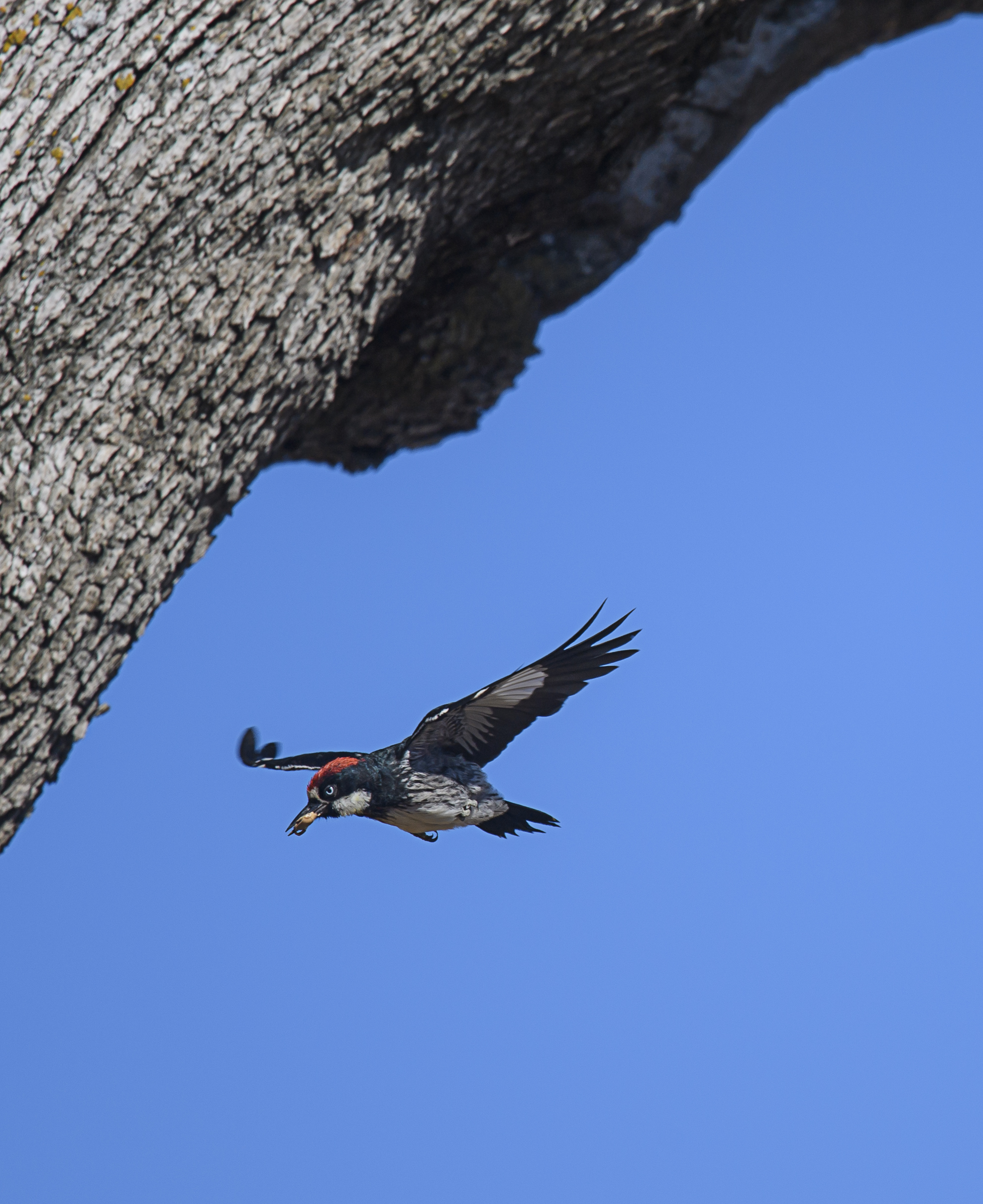 flying-acorn-woodpecker