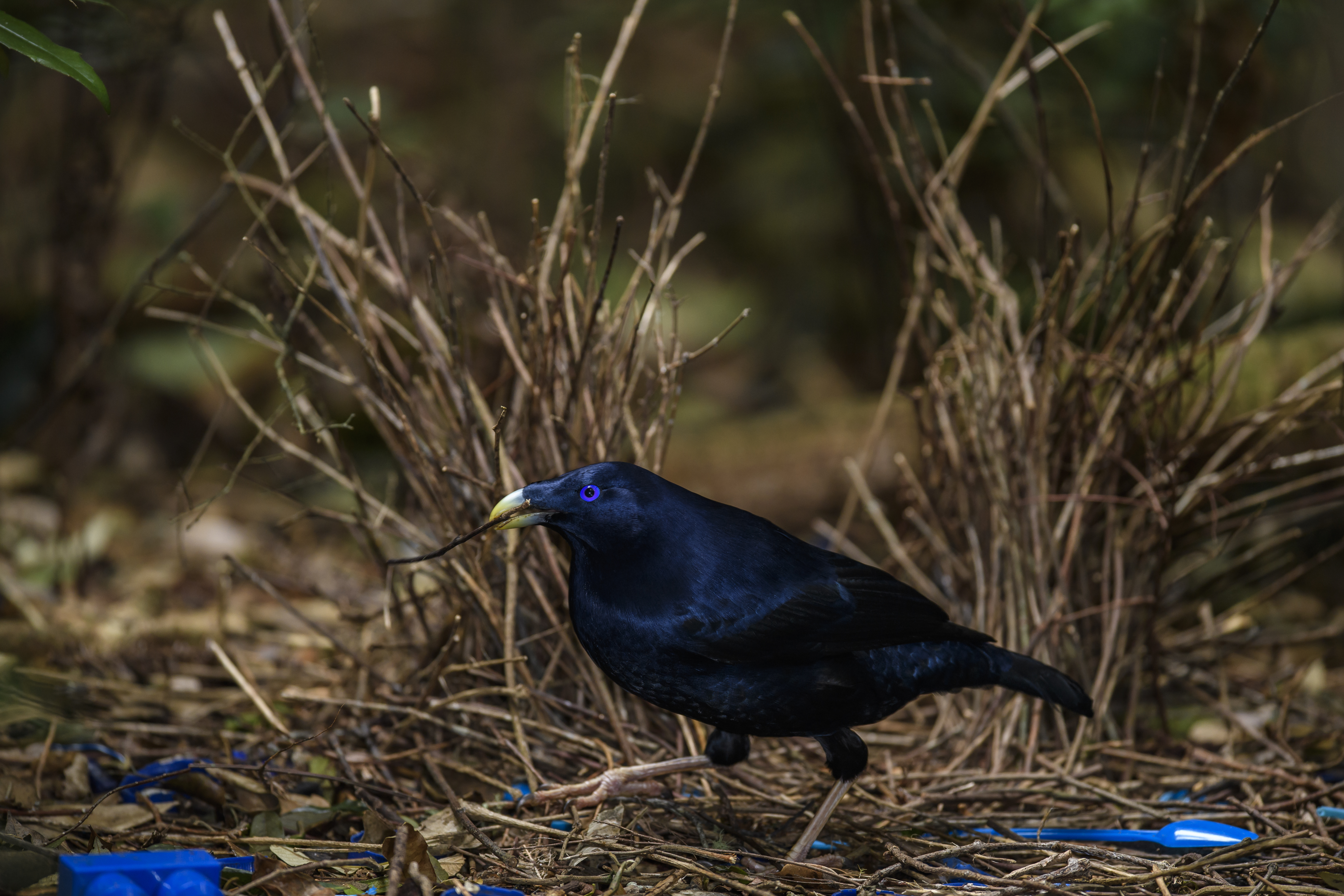 Satin Bowerbird 4