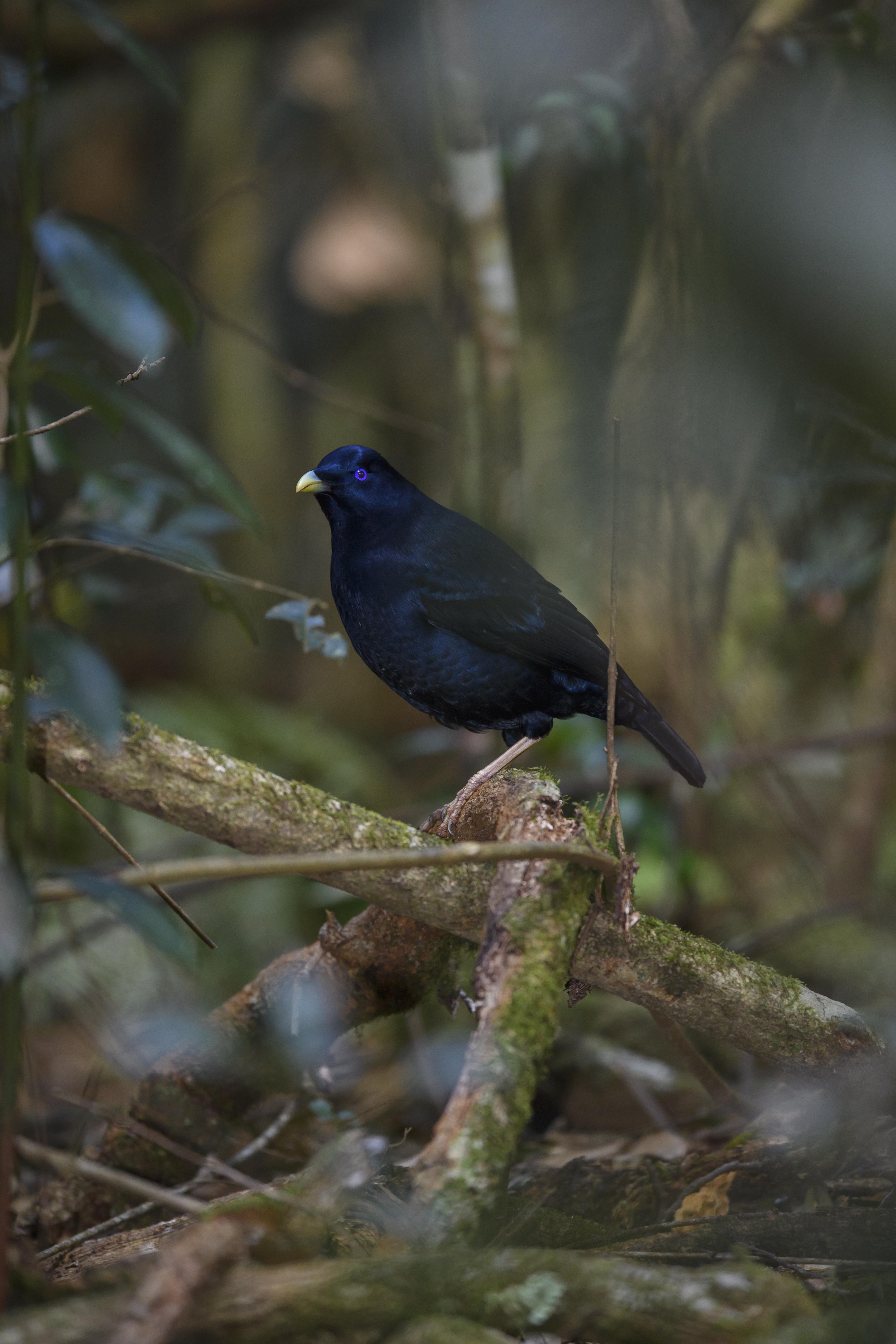 Satin Bowerbird 8
