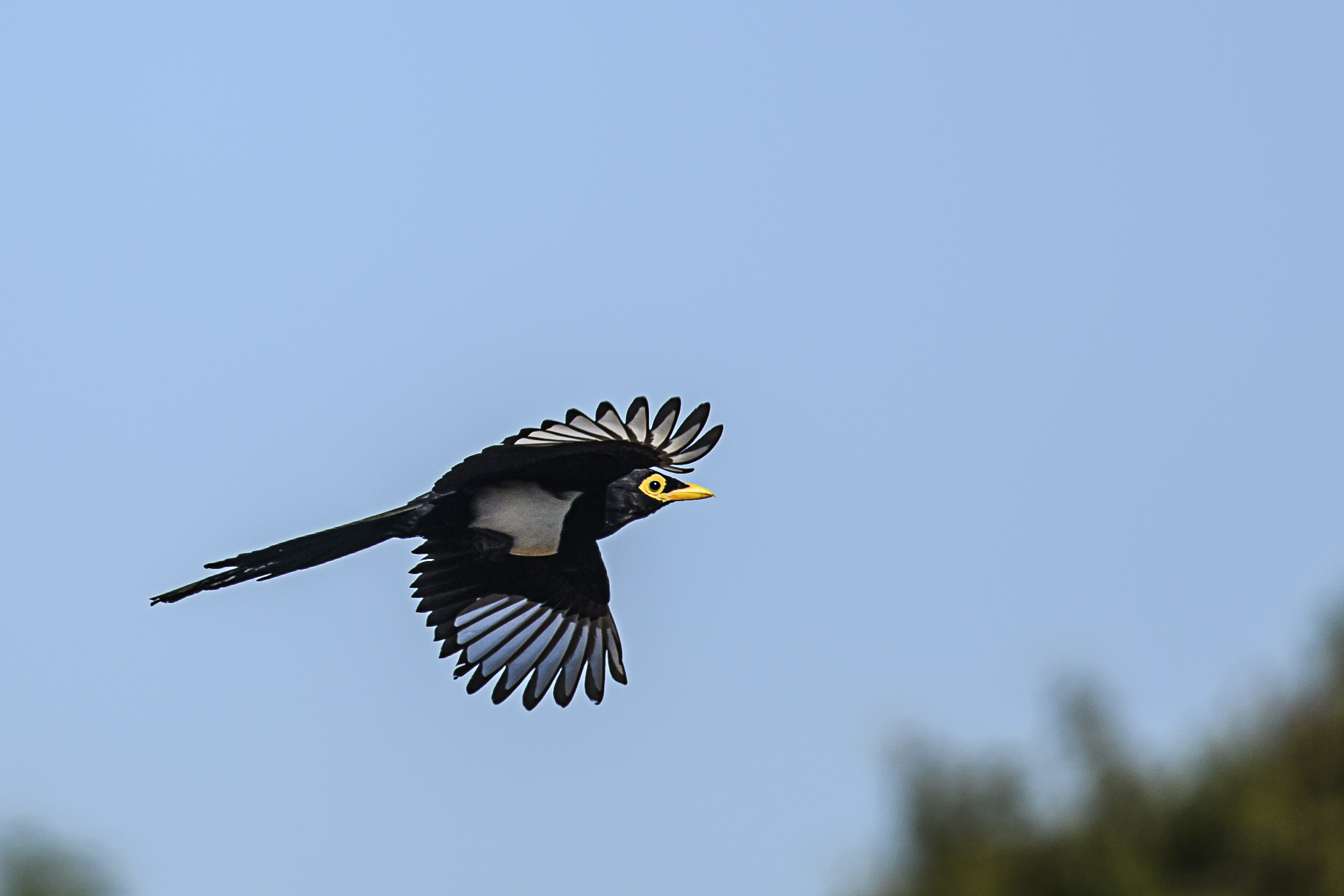 flying-yellow-billed-magpie