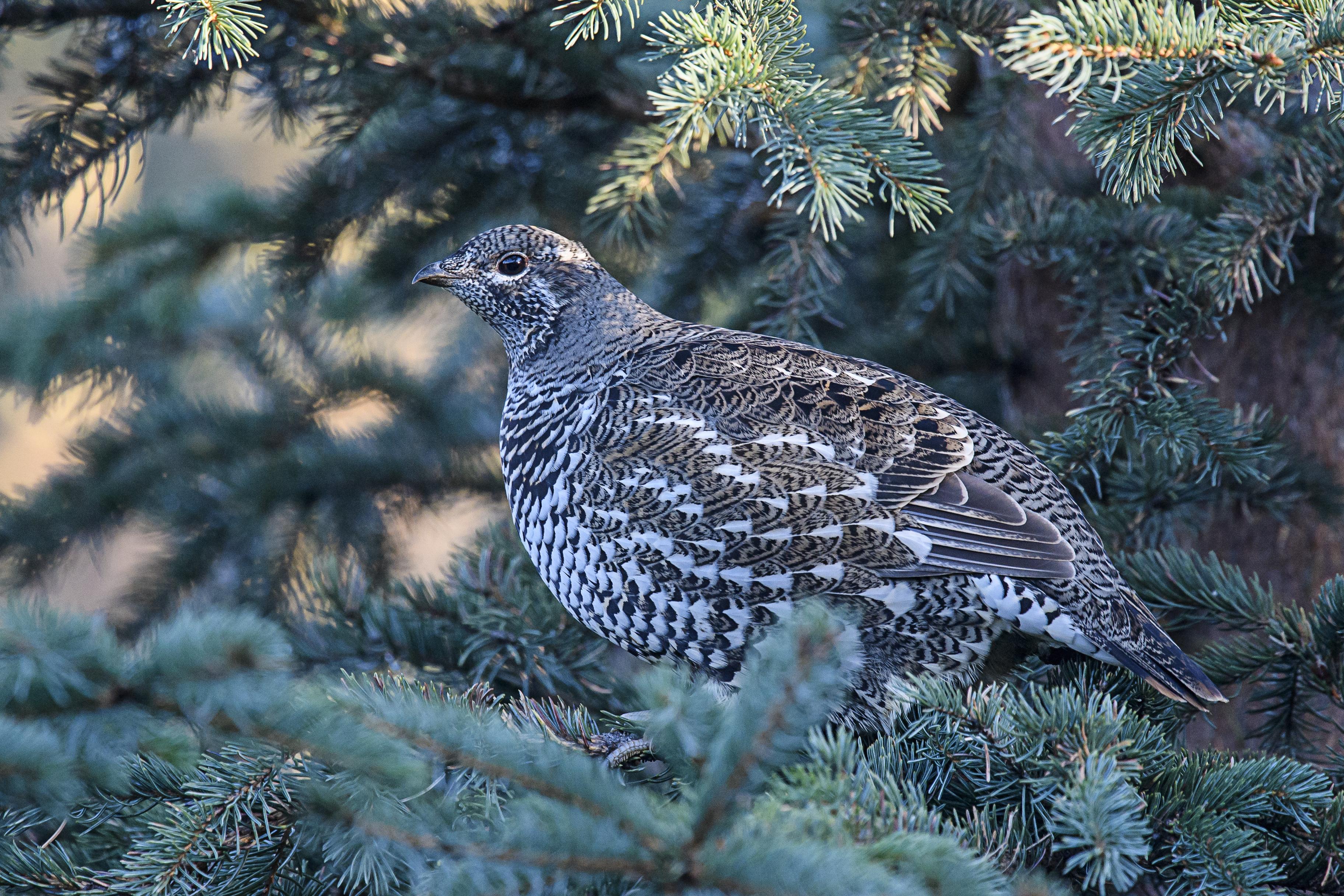 spruce-grouse-female
