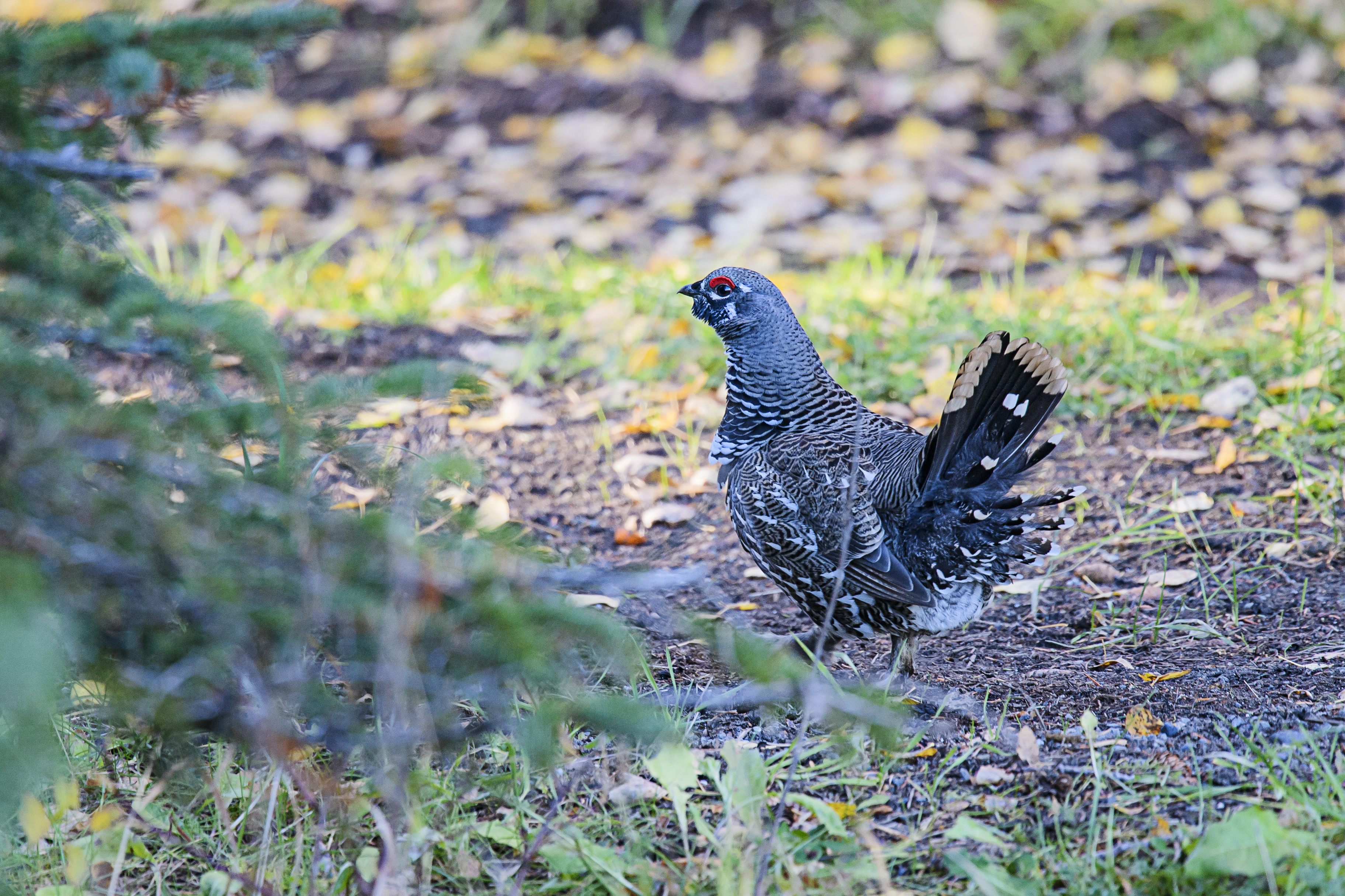 spruce-grouse-male