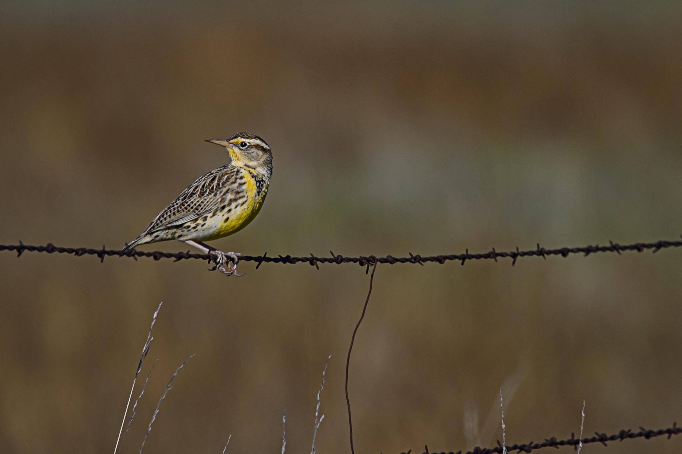 meadowlark-1