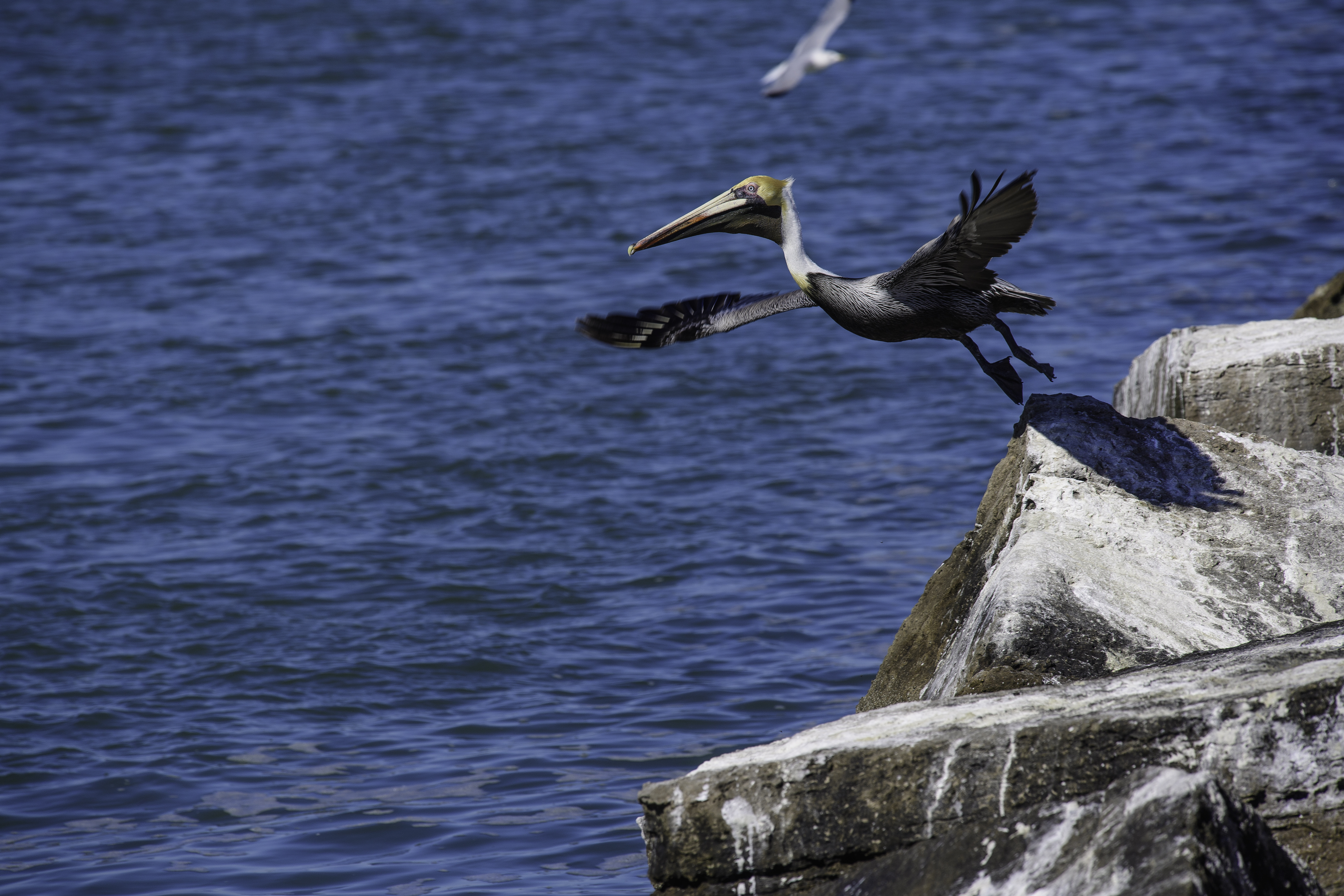 Brown Pelican and the jetty.jpg