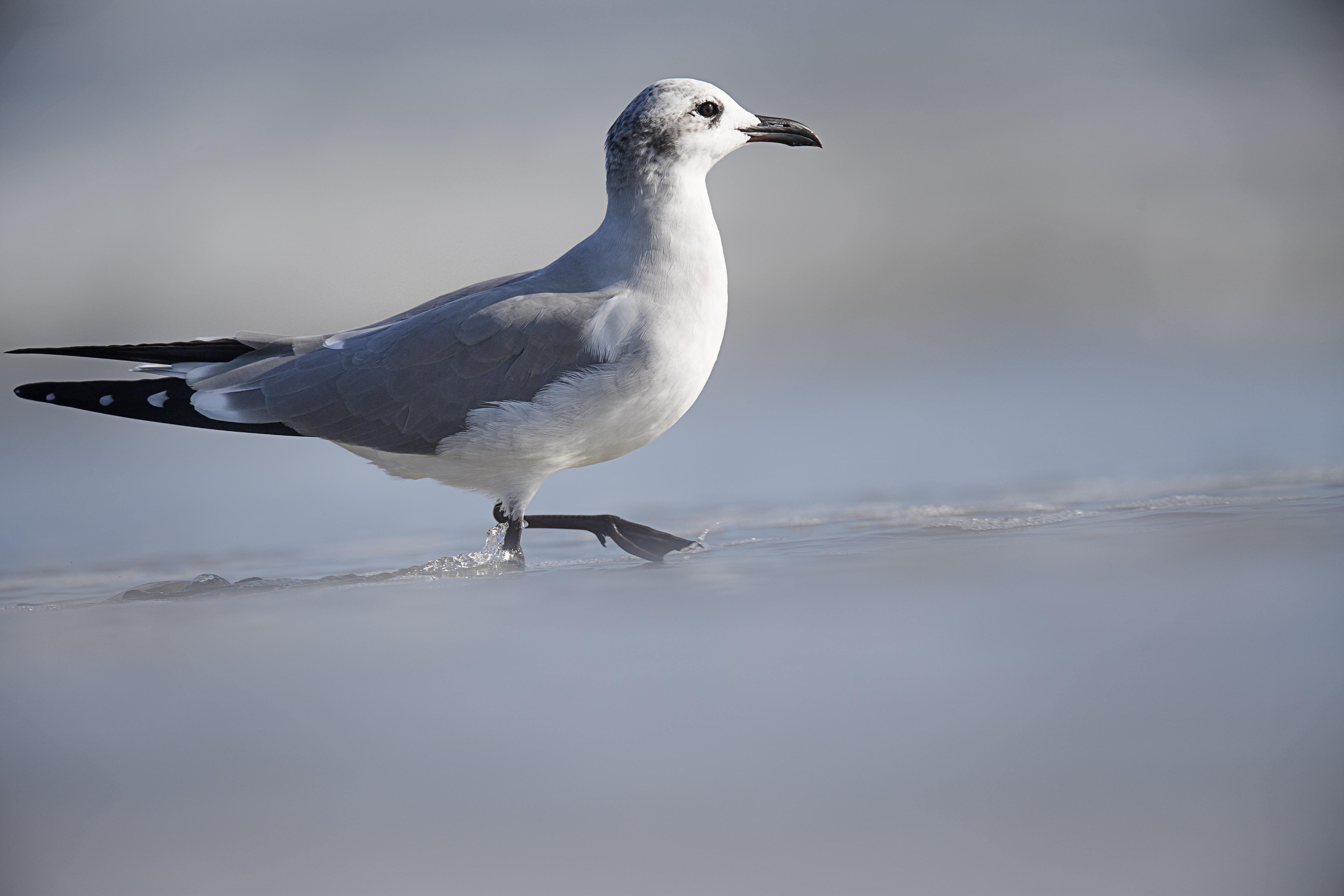 Walking Gull.jpg