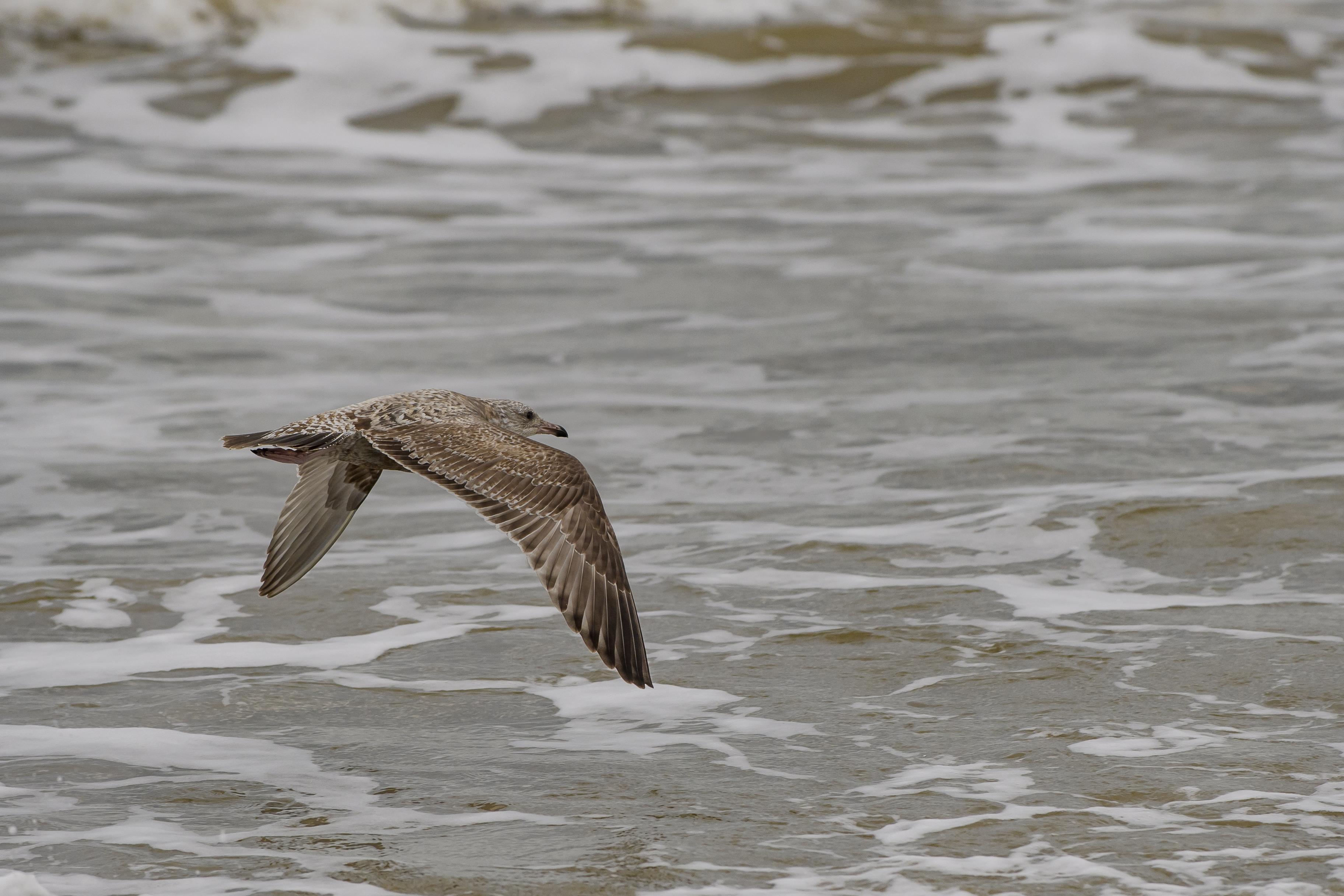 herring gull juvenile.jpg