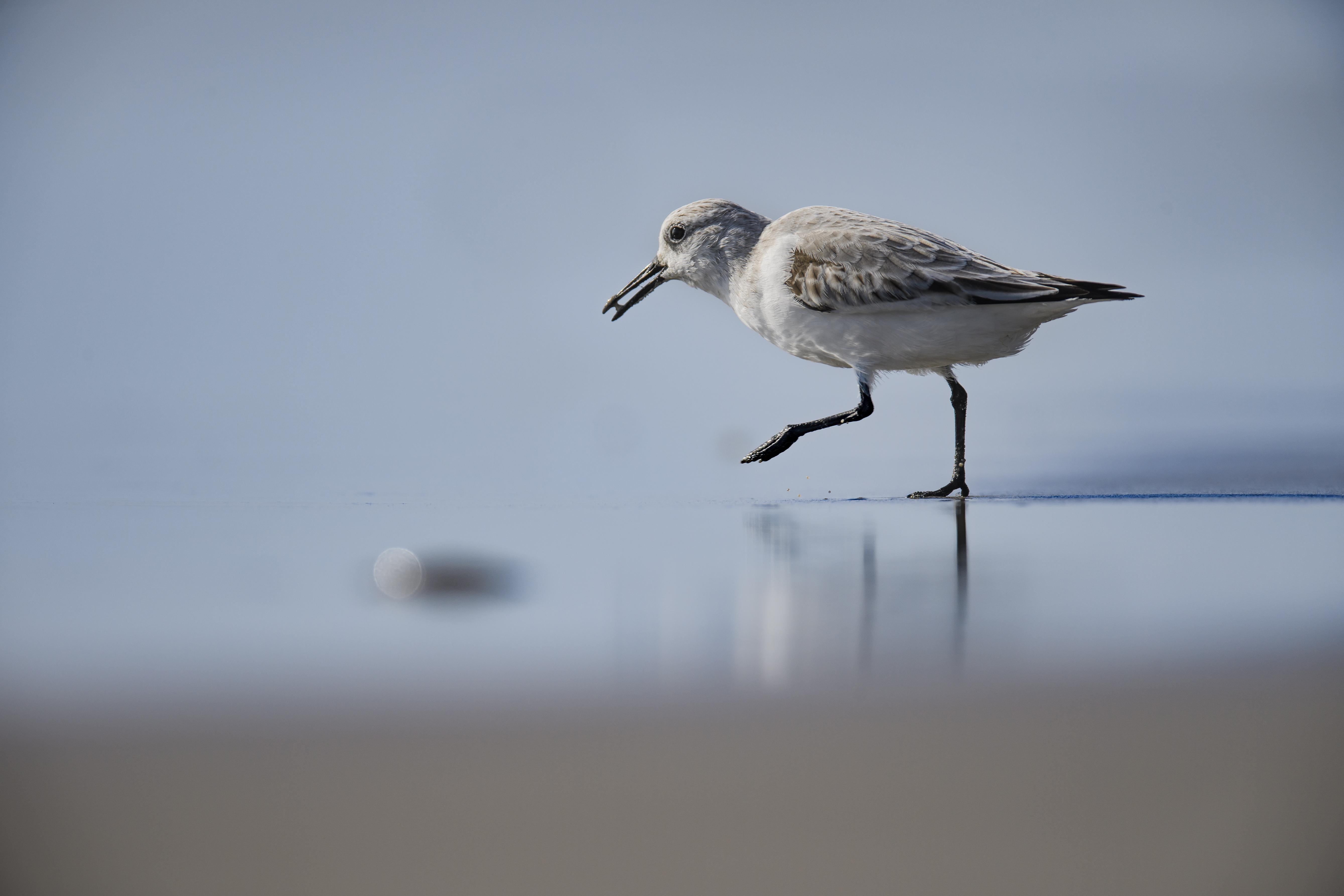 sanderling marching.jpg