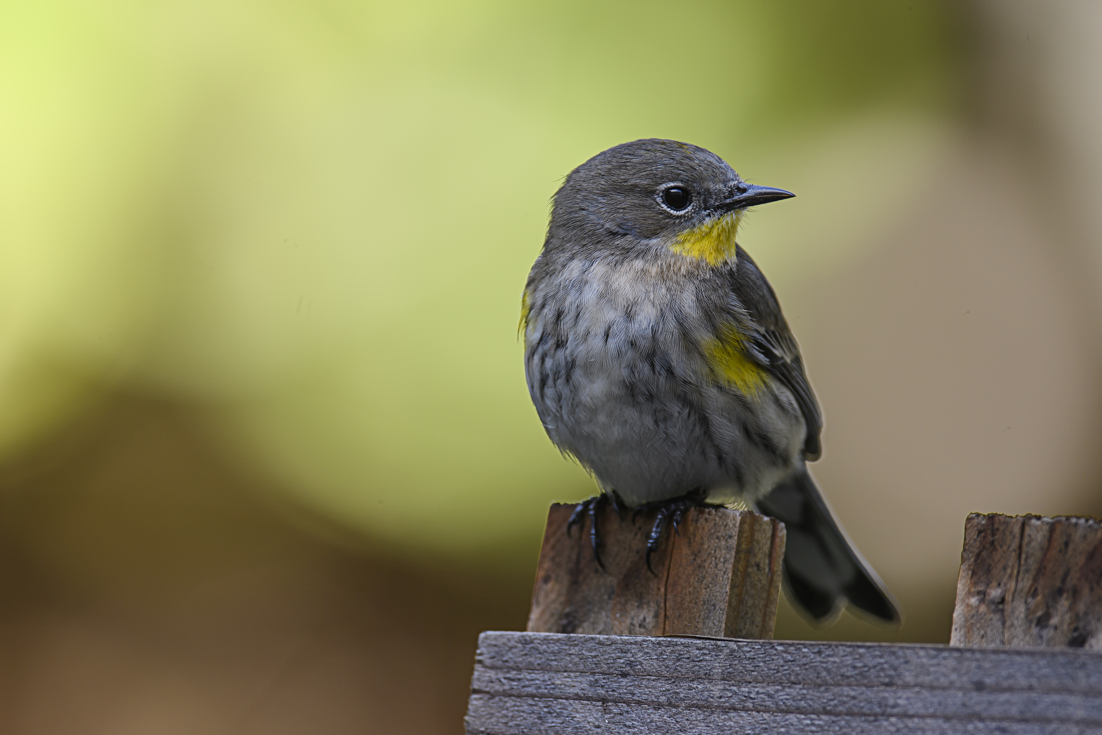 yellow-rump-perched