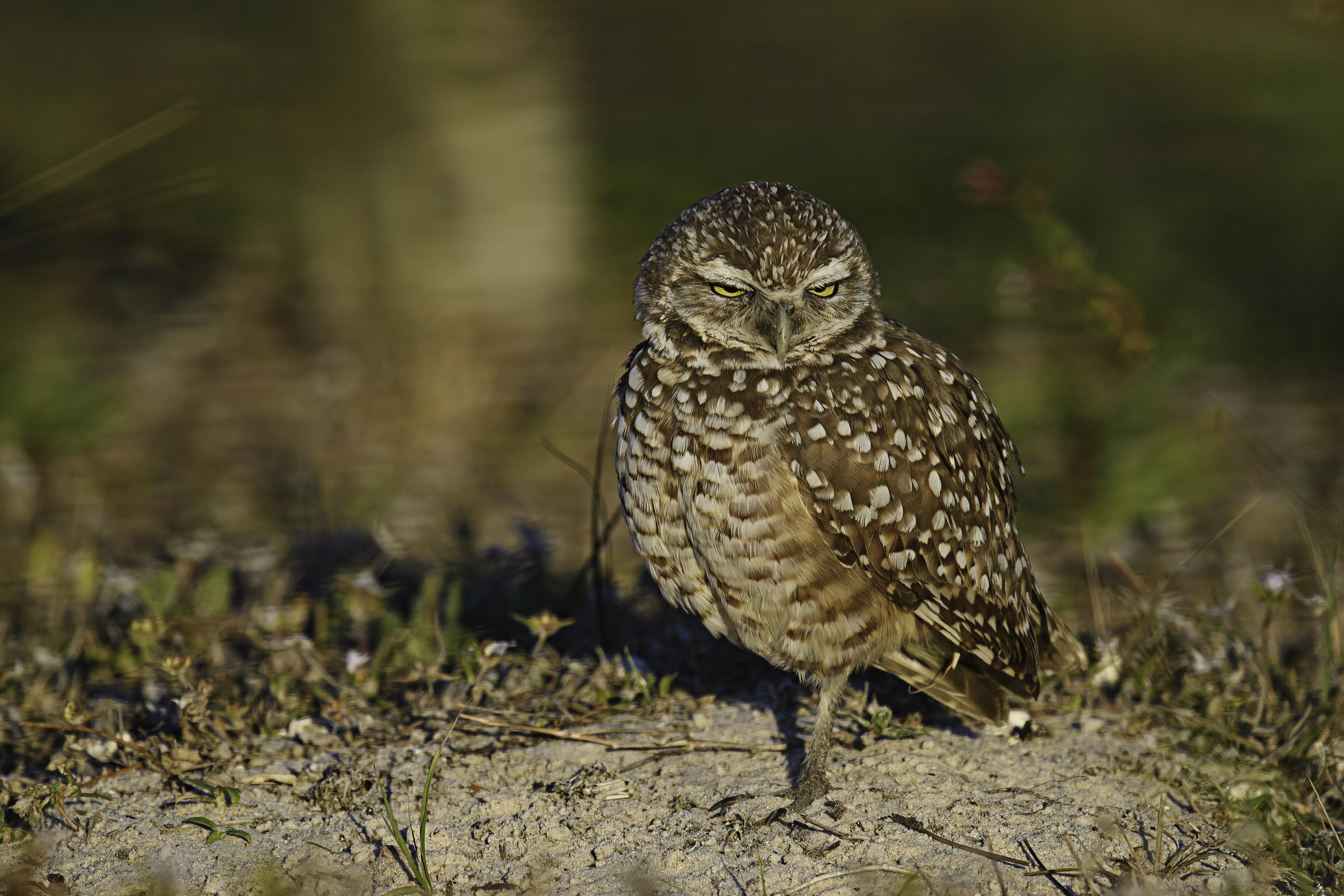 Burrowing Owl - the look.jpg