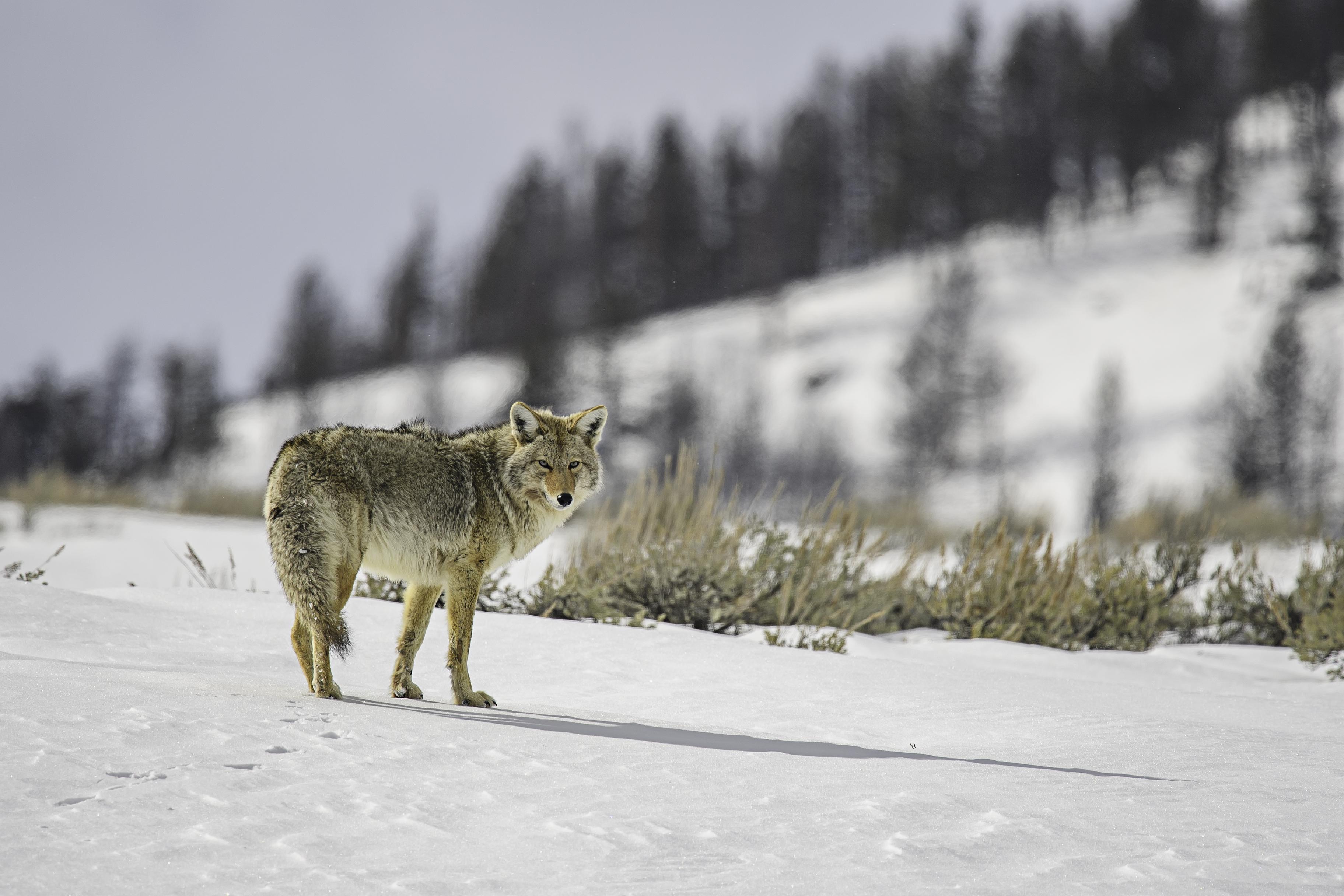 coyote 1.jpg