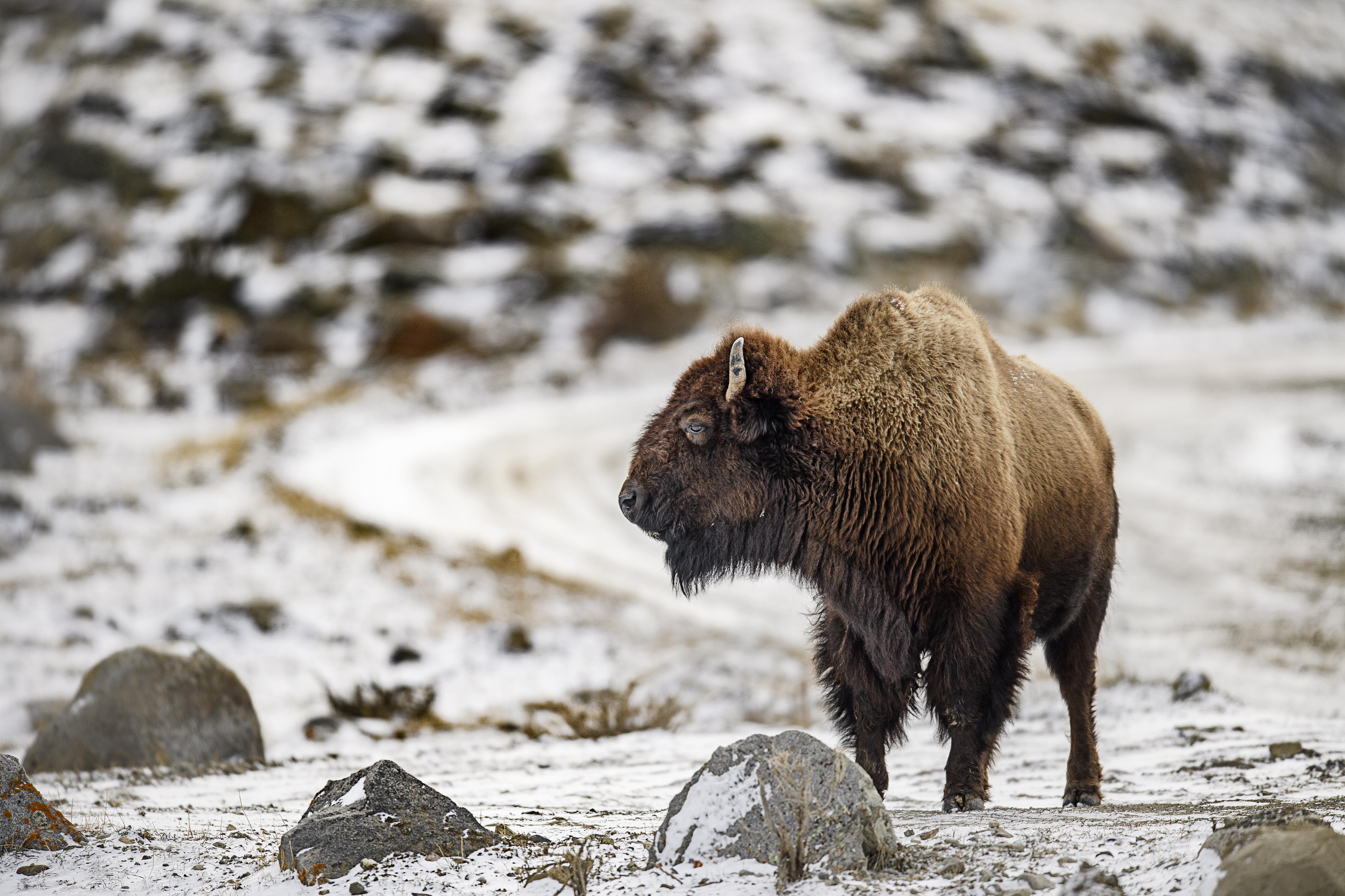 lone bison.jpg