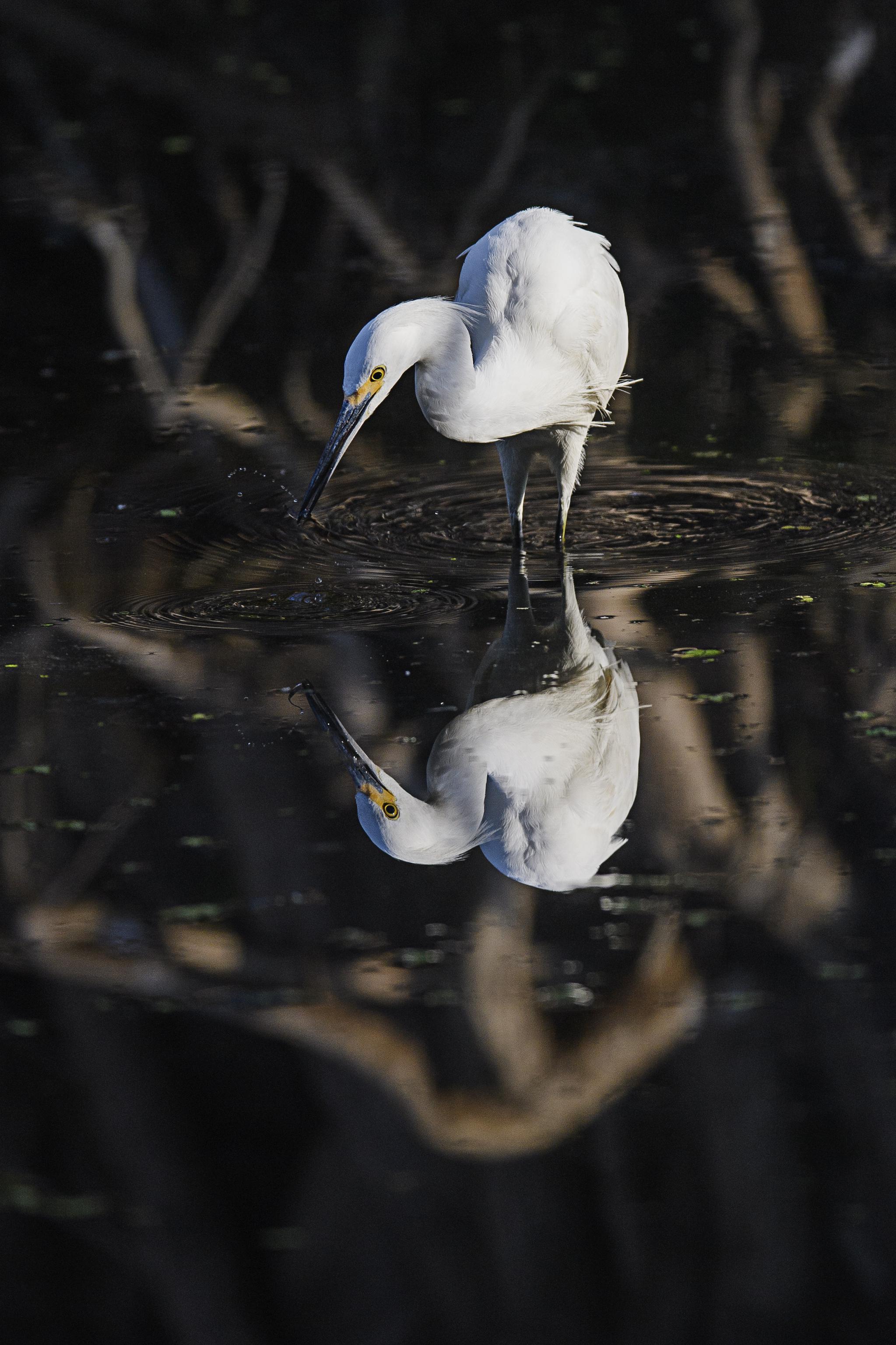Reflectin Snowy Egret