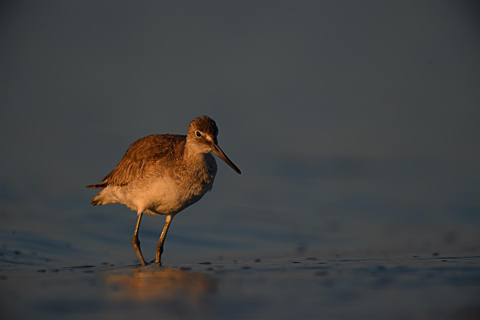 WN-Sunrise Sanibel Island Willet-Carol Smith.jpg