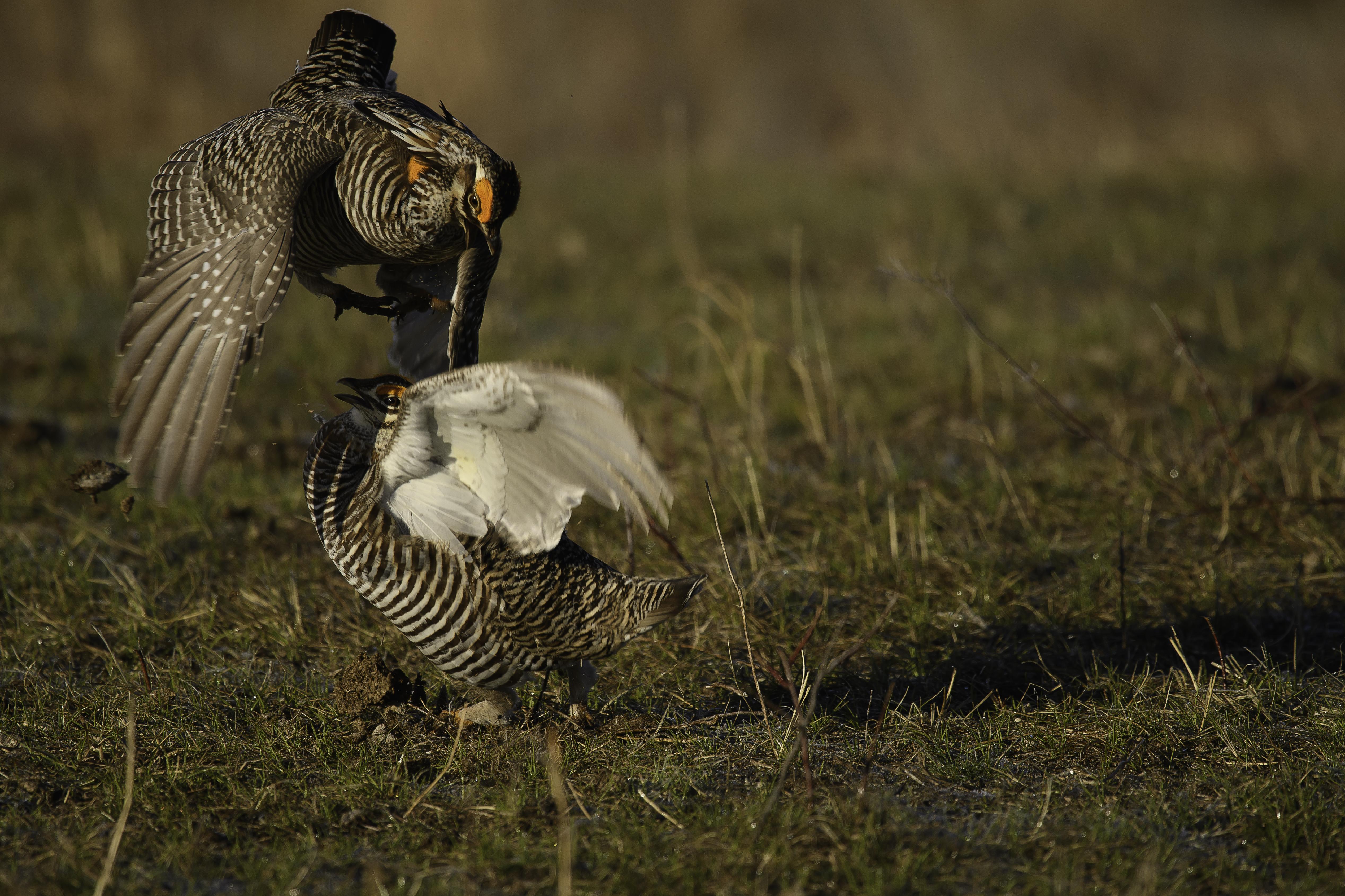 Battling Greater Prairie Chickens.jpg