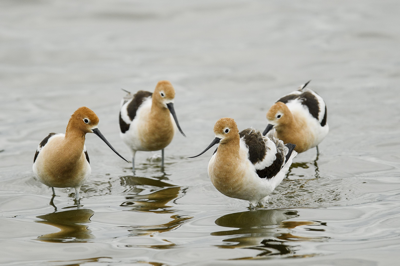 group of avocets.jpg