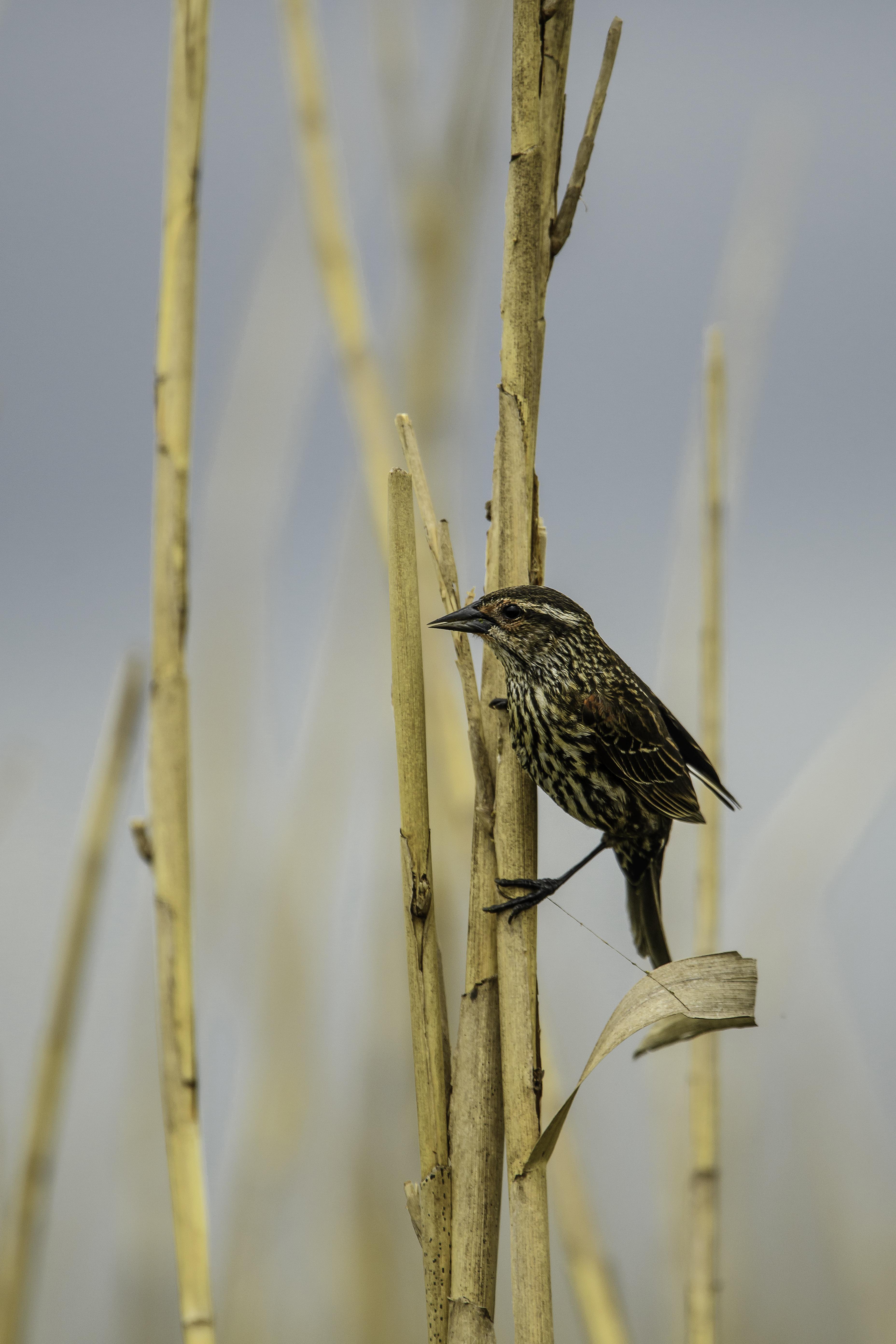 Savannah Sparrow.jpg