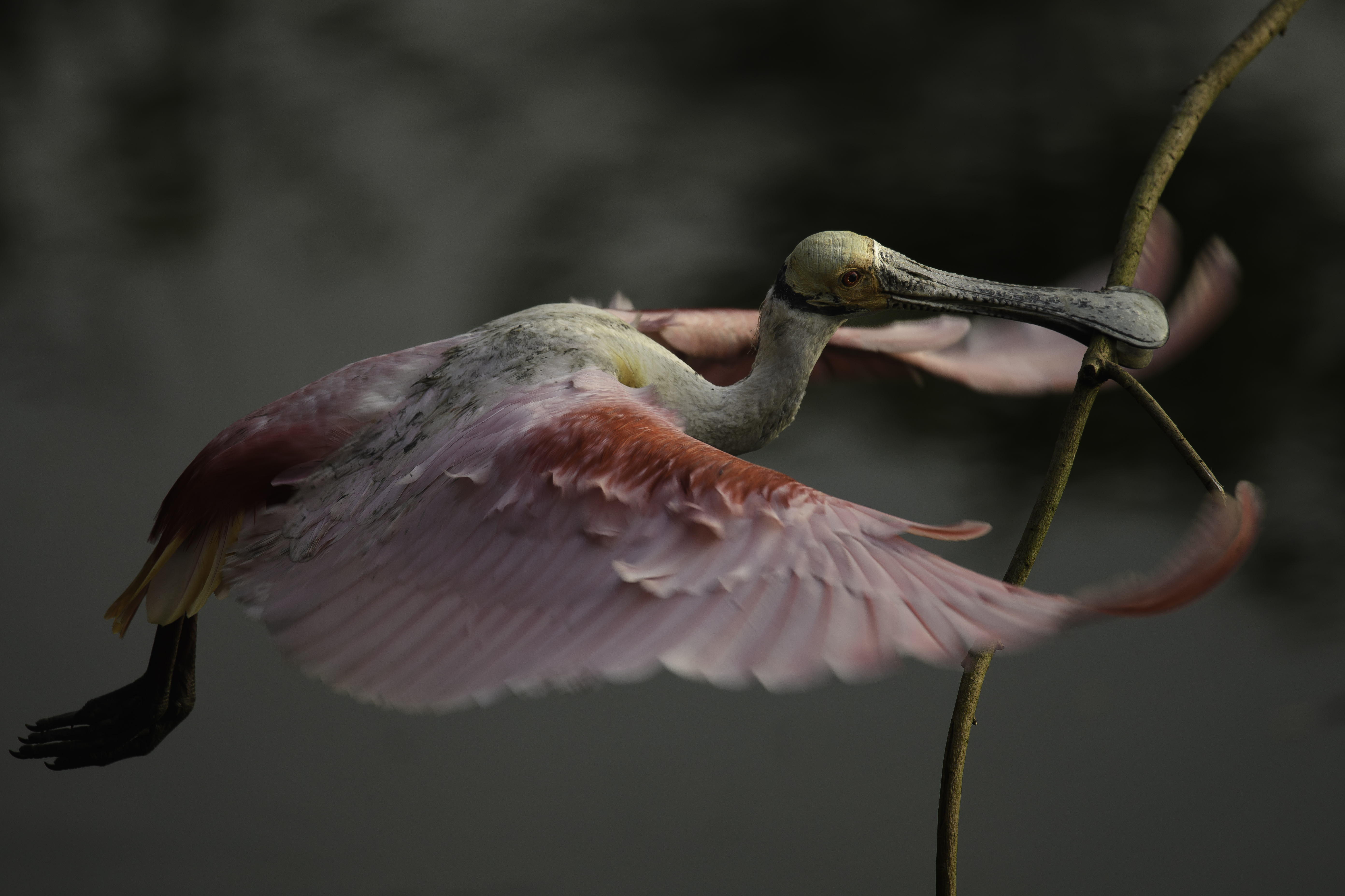 Spoonbill with stick.jpg