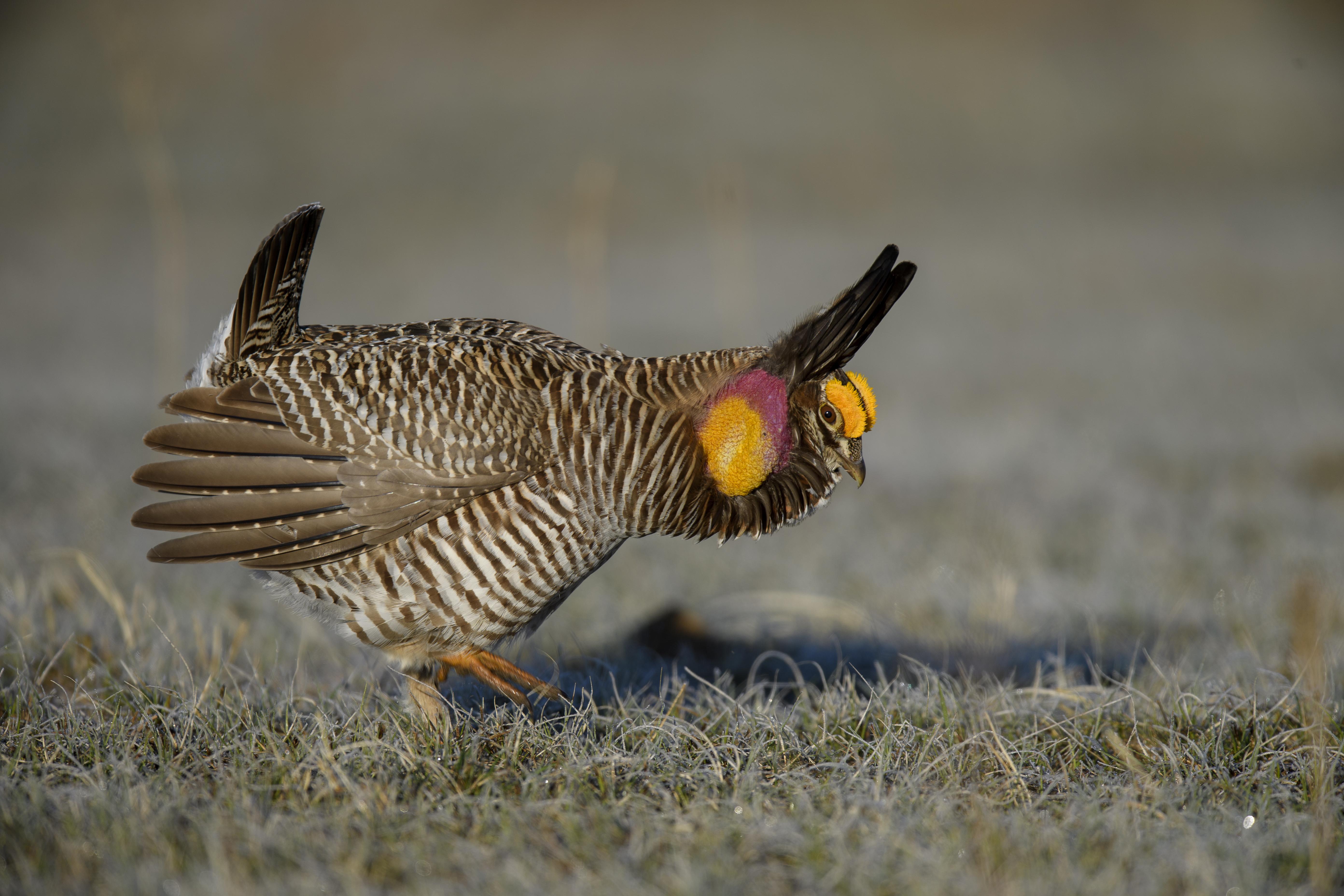 thumping prairie Chicken.jpg