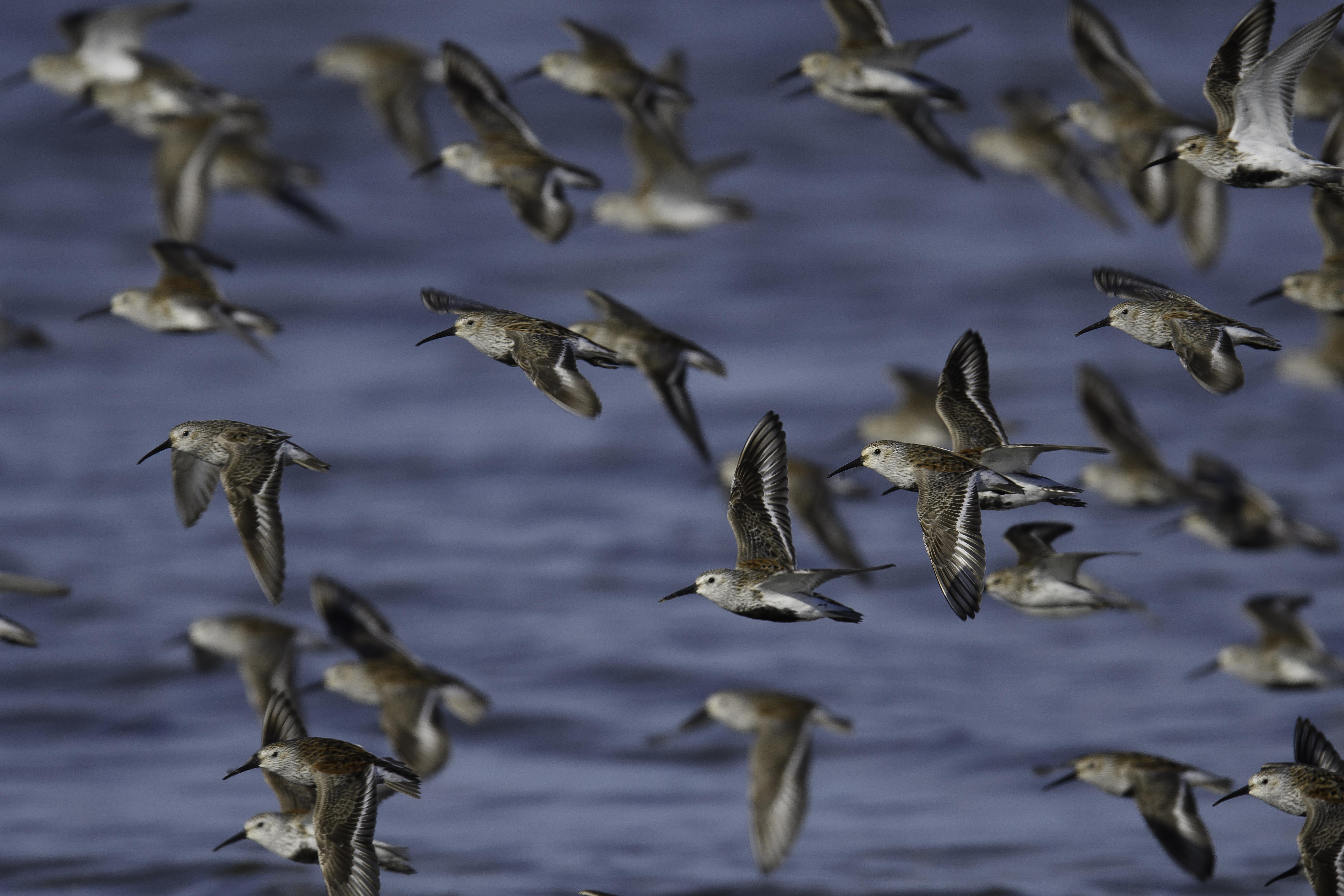 Dunlin flock left.jpg