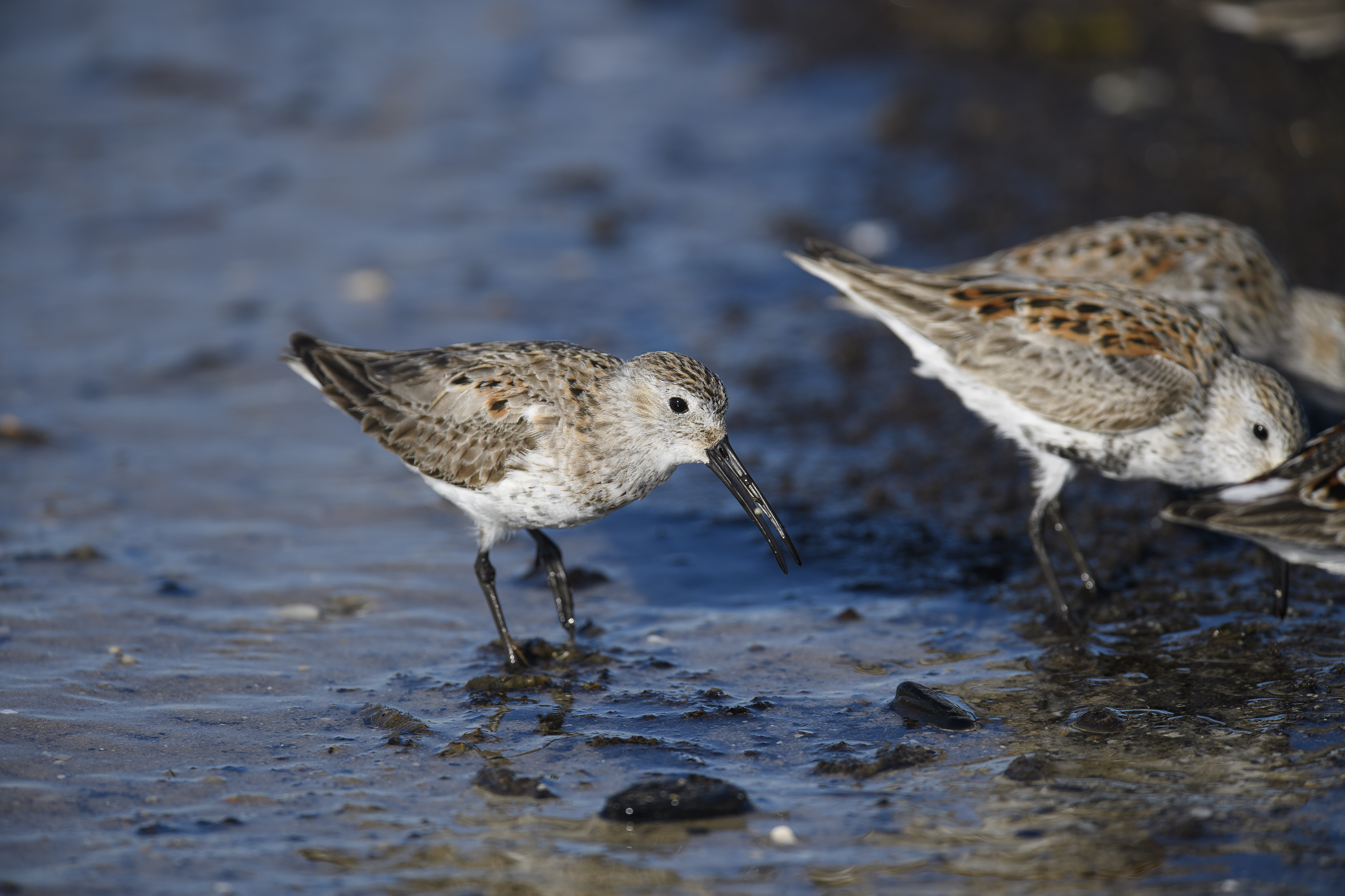 Dunlin with crab egg 1