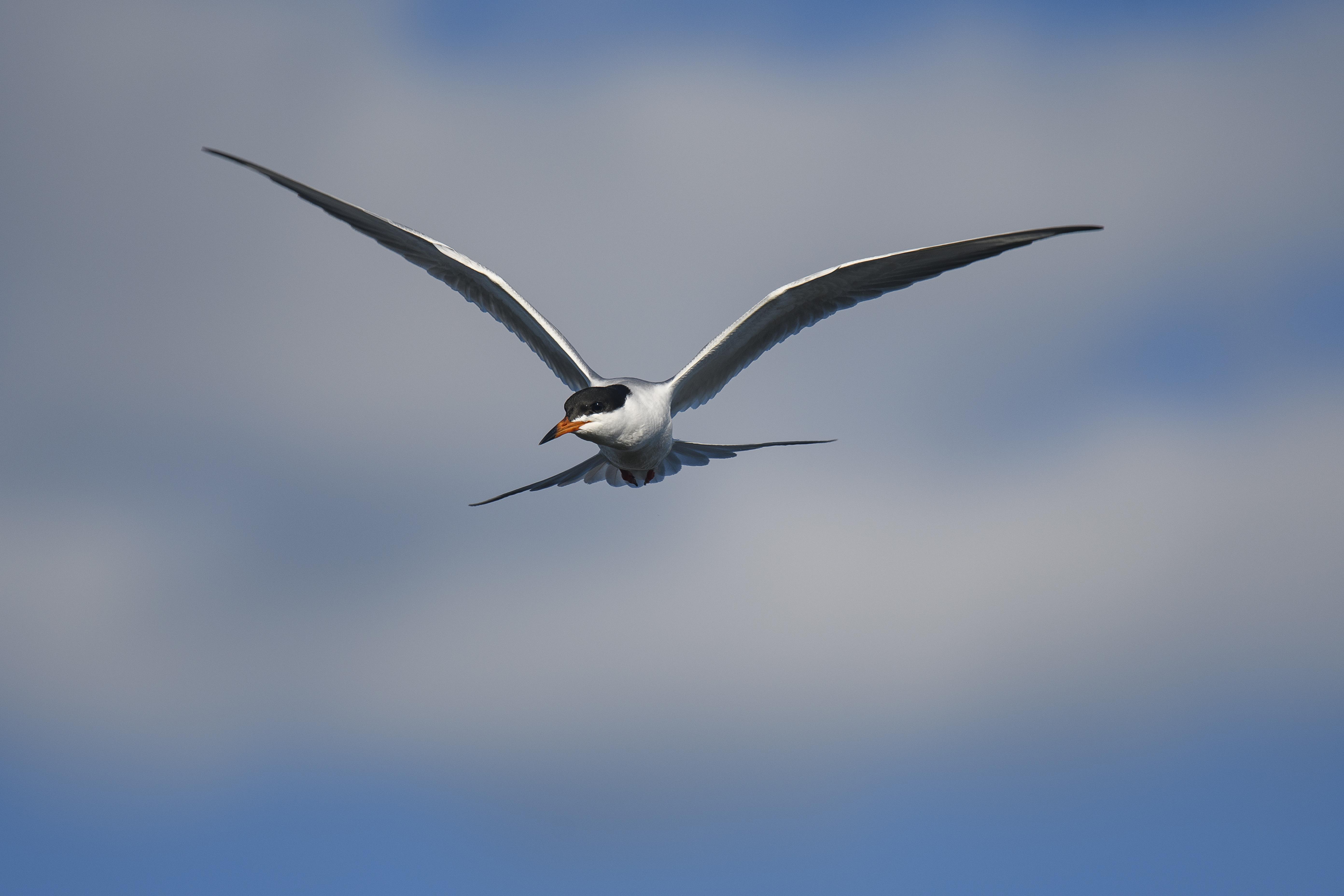 forster's tern 3