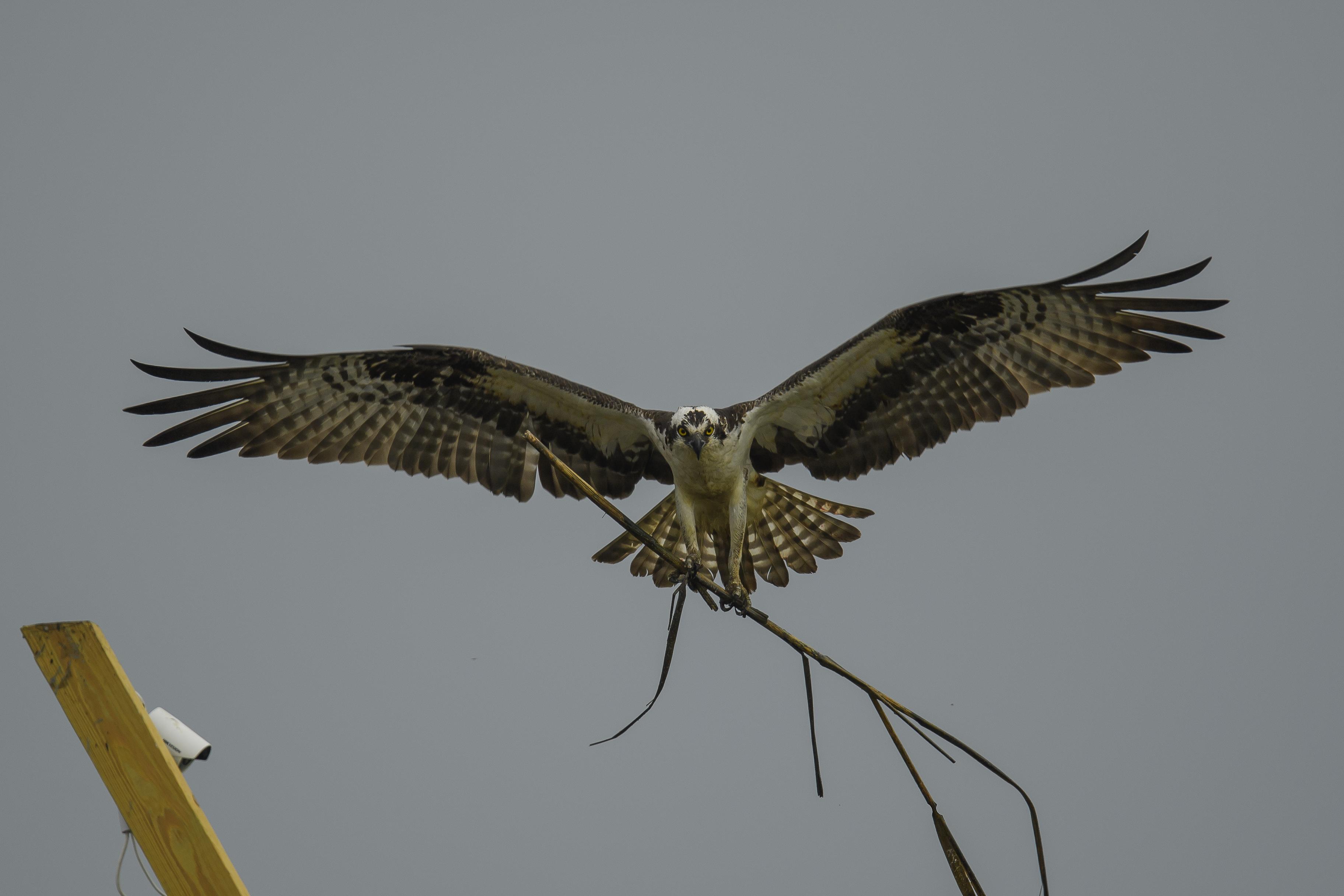 Osprey with nesting material.jpg
