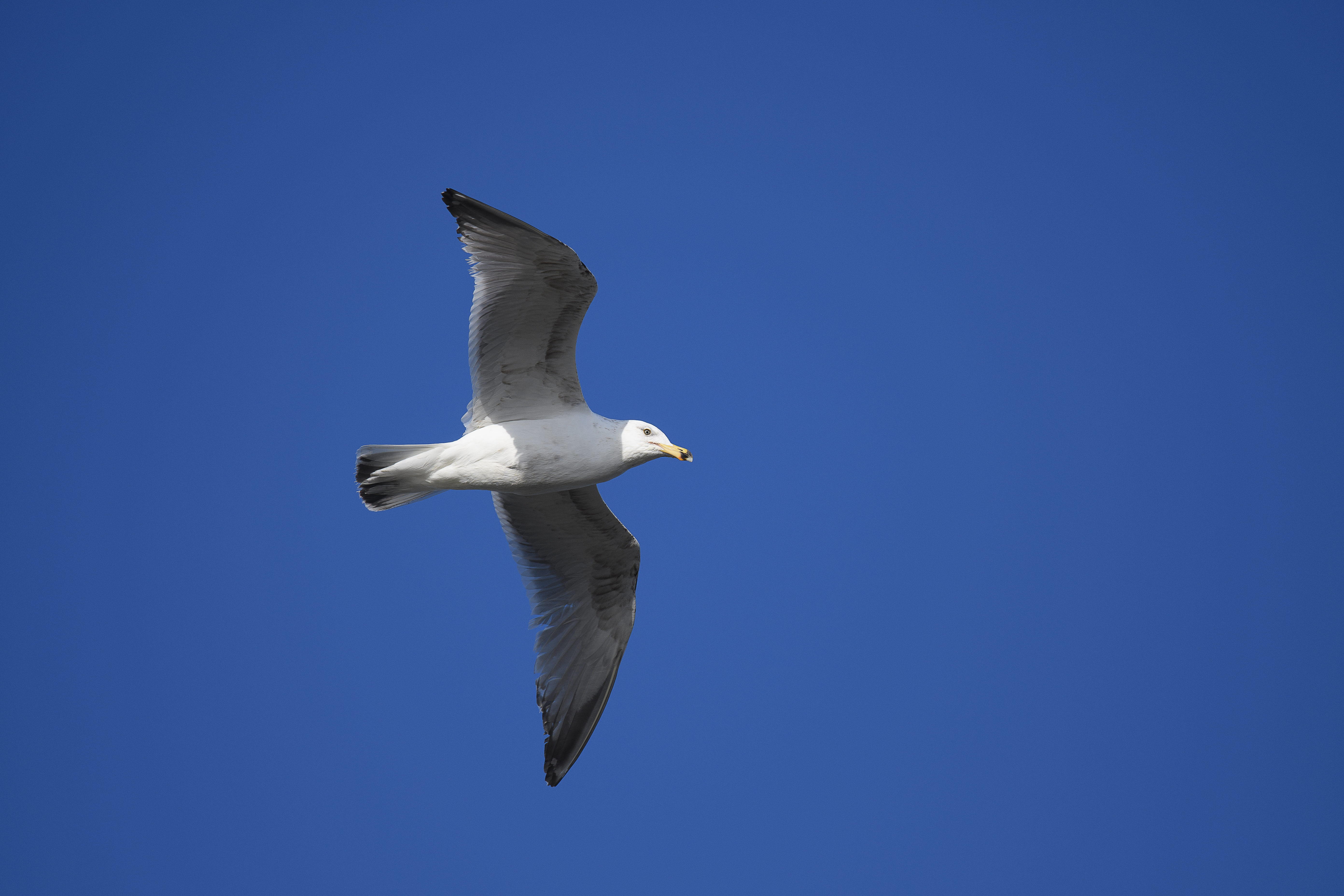 Ring billed gull cape may?.jpg