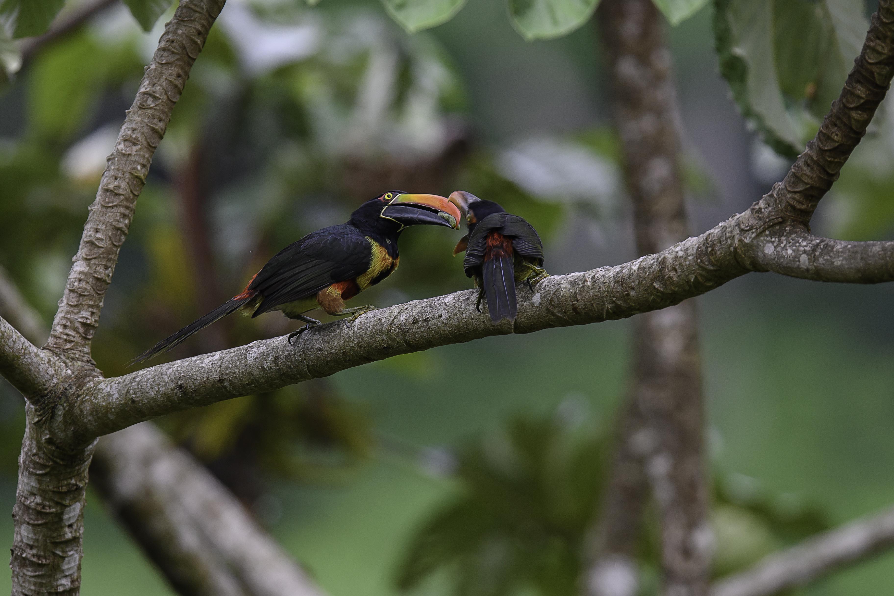 Aracari feeding 4