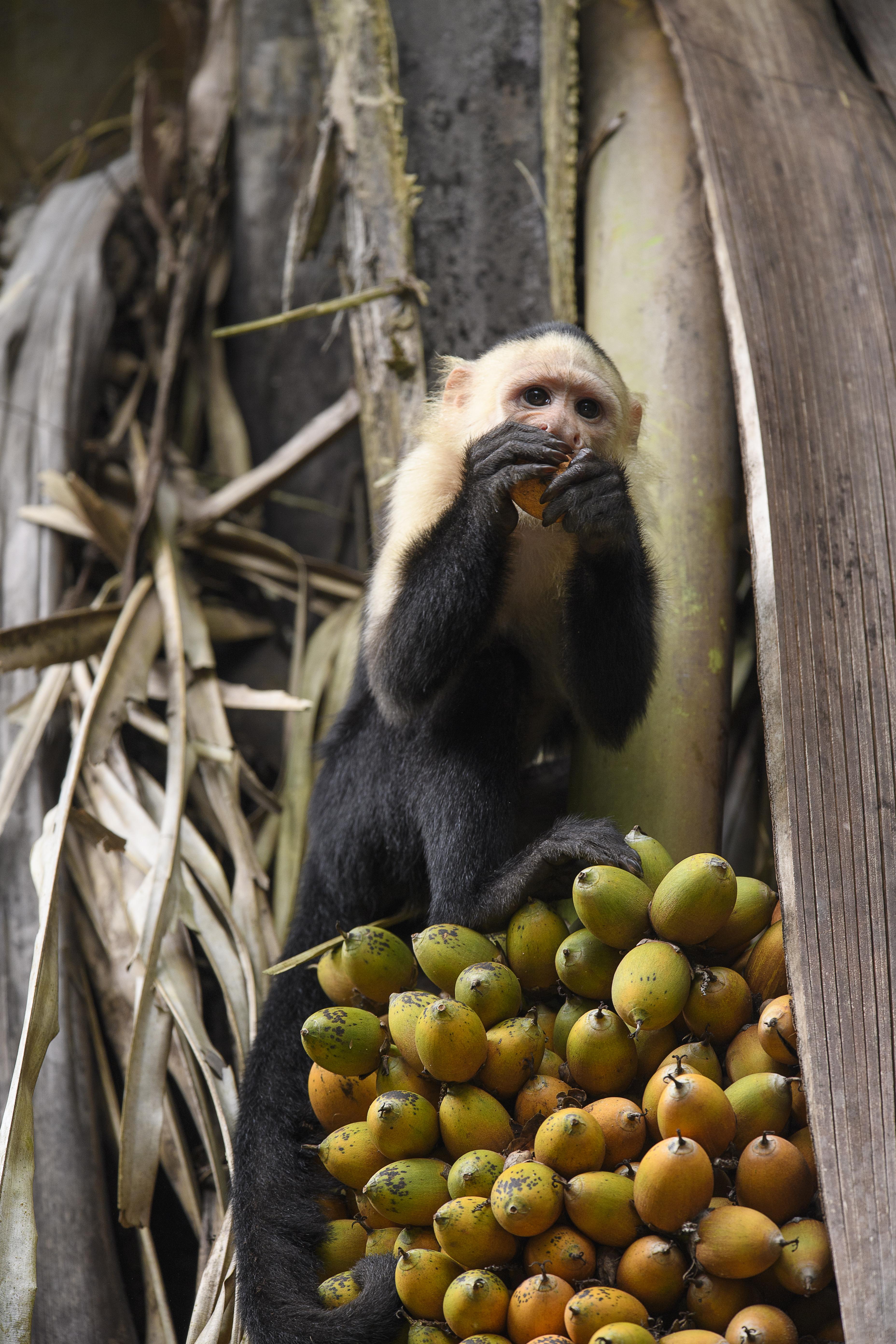 Capuchin forbidden fruit 2