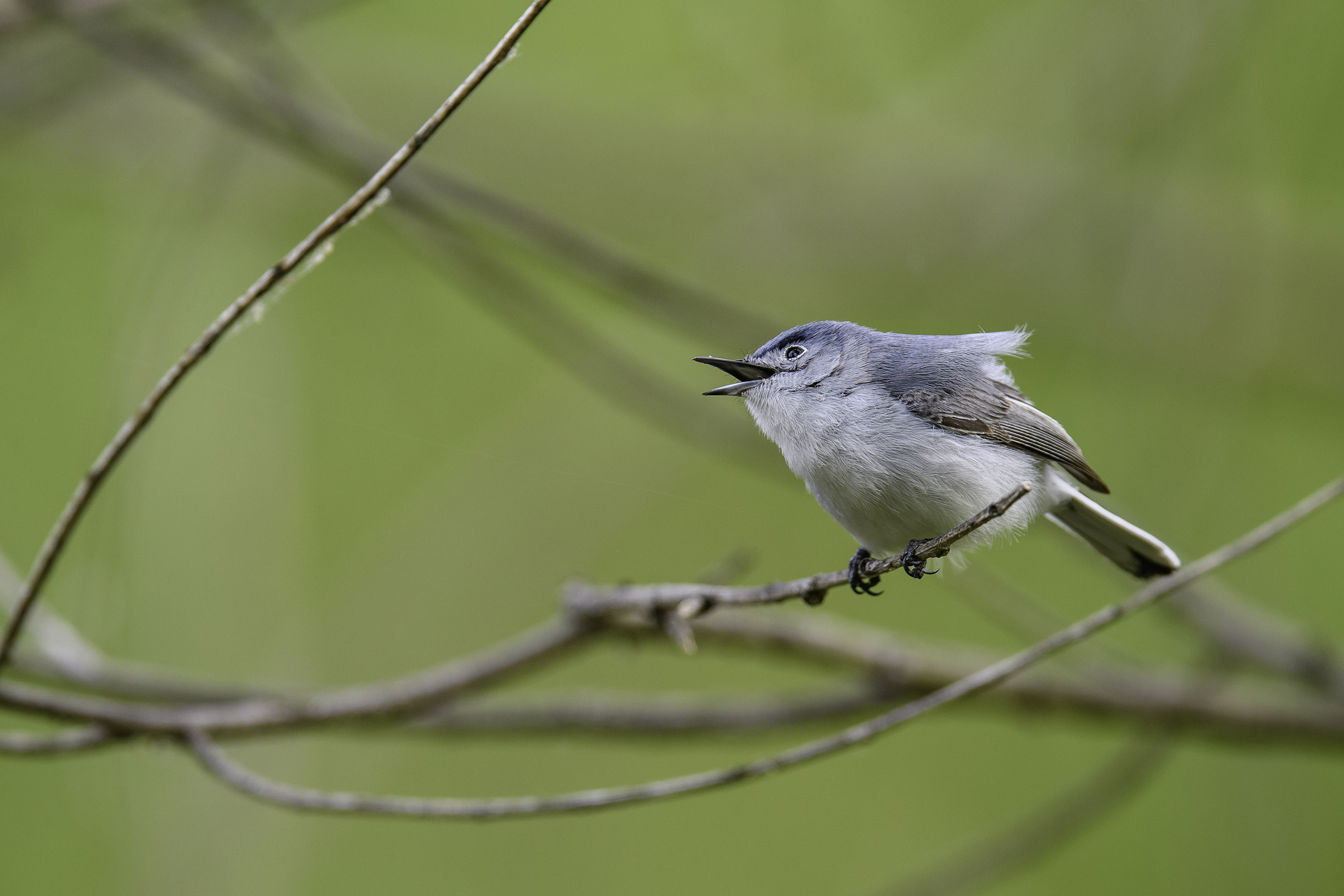 gnatcatcher fave 2