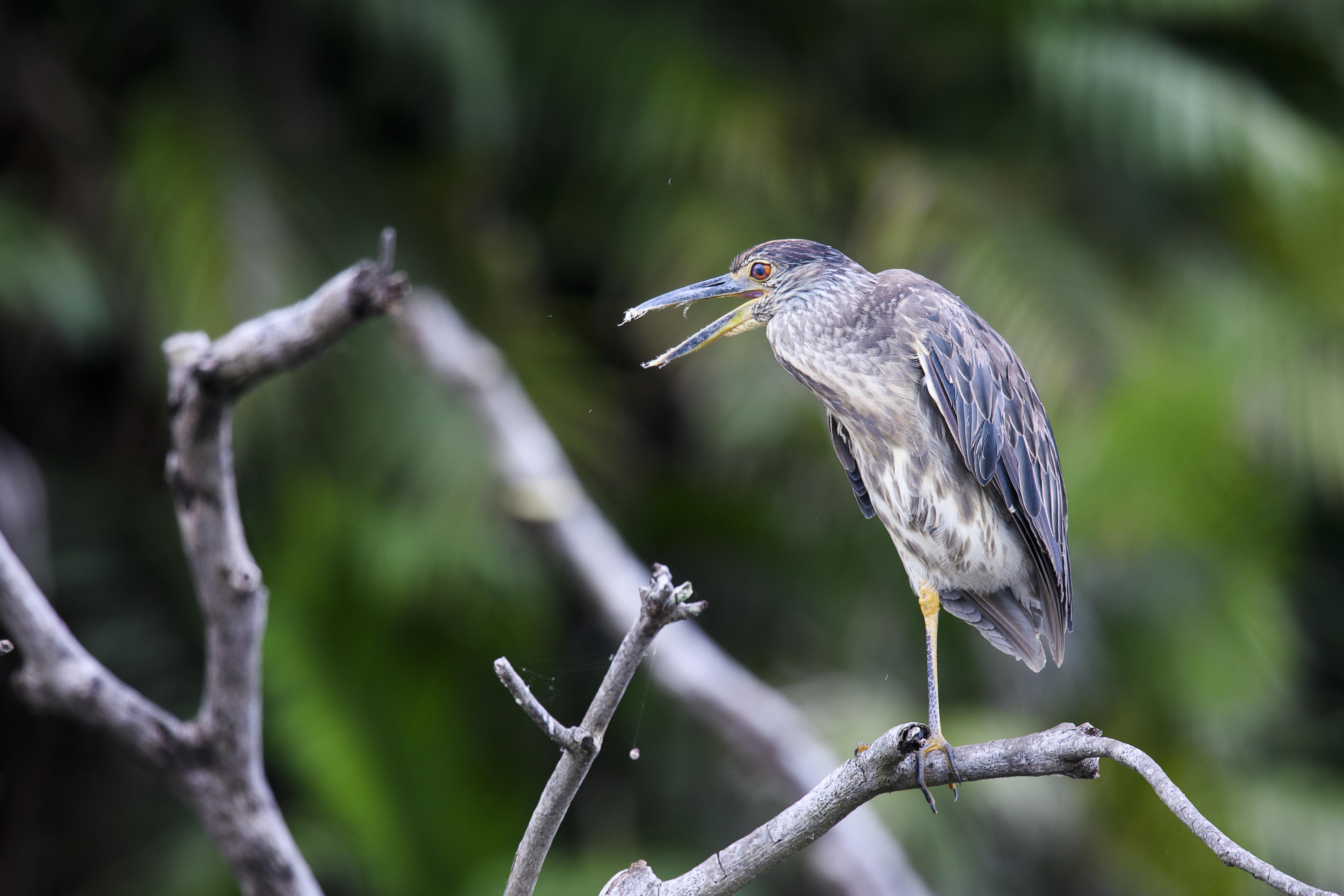 juv Yellow Crowned night heron beak open nictating membrane.jpg