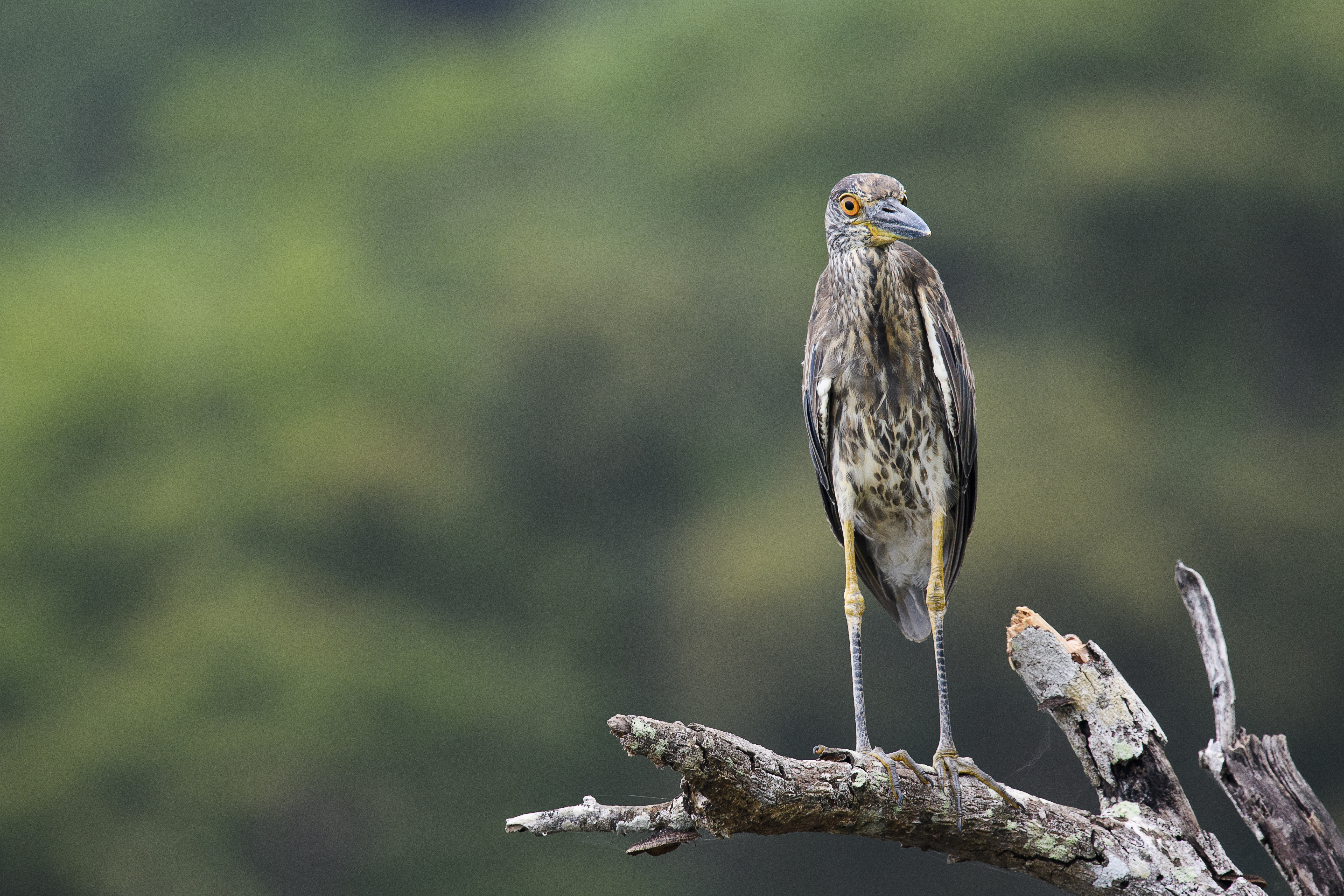 juv yellow crowned night heron front