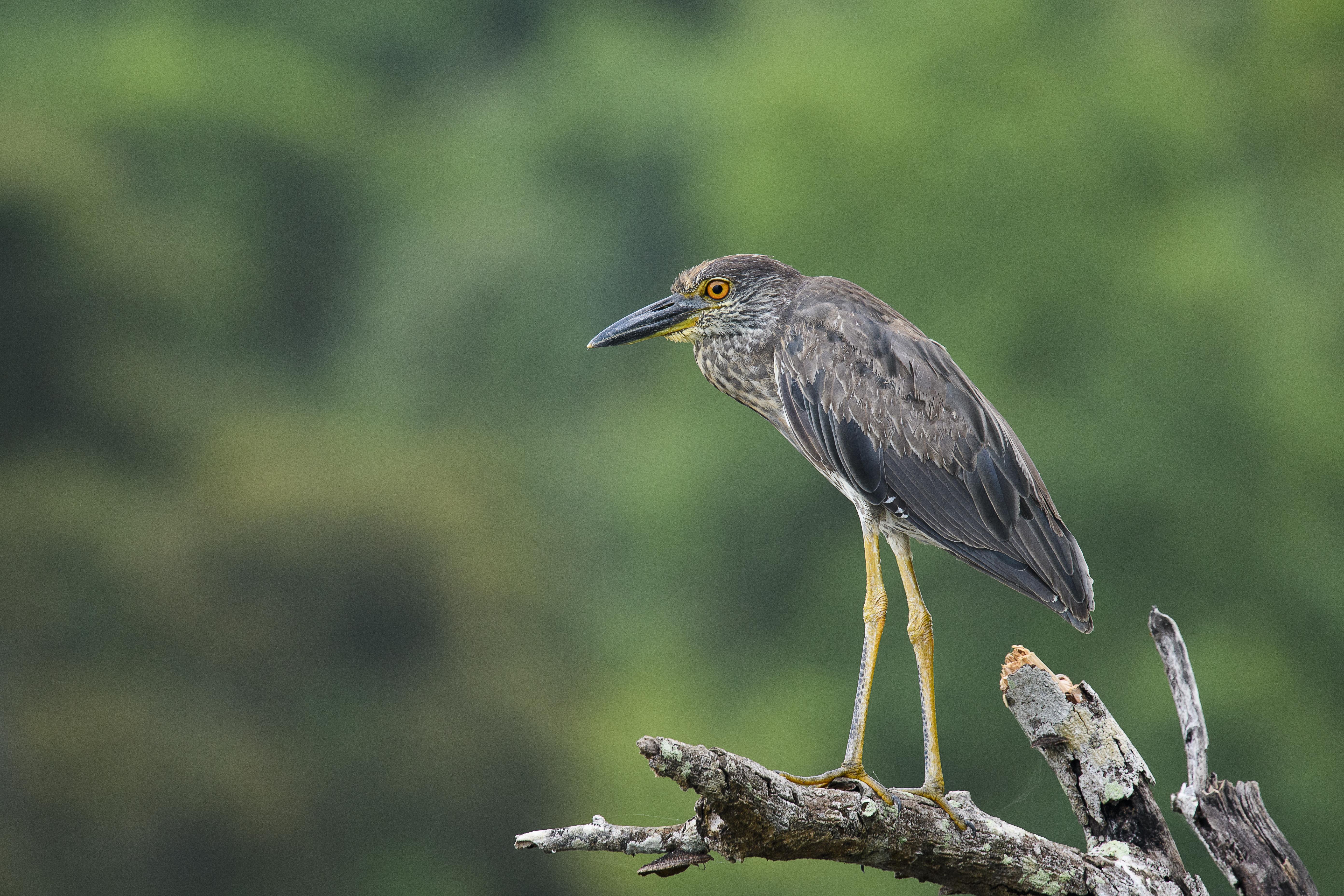 juv yellow crowned night heron left