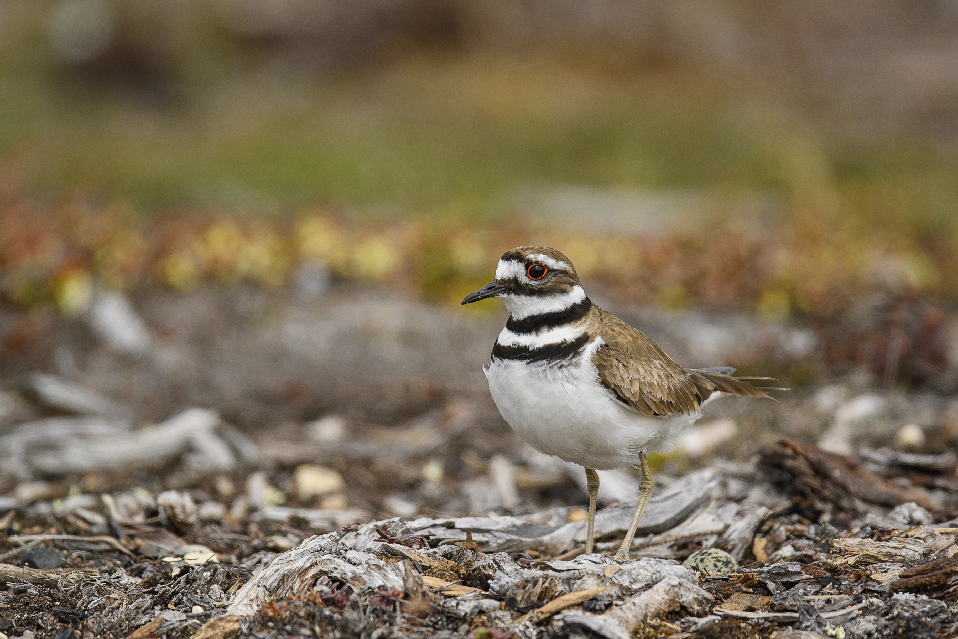 Nesting Killdeer 2