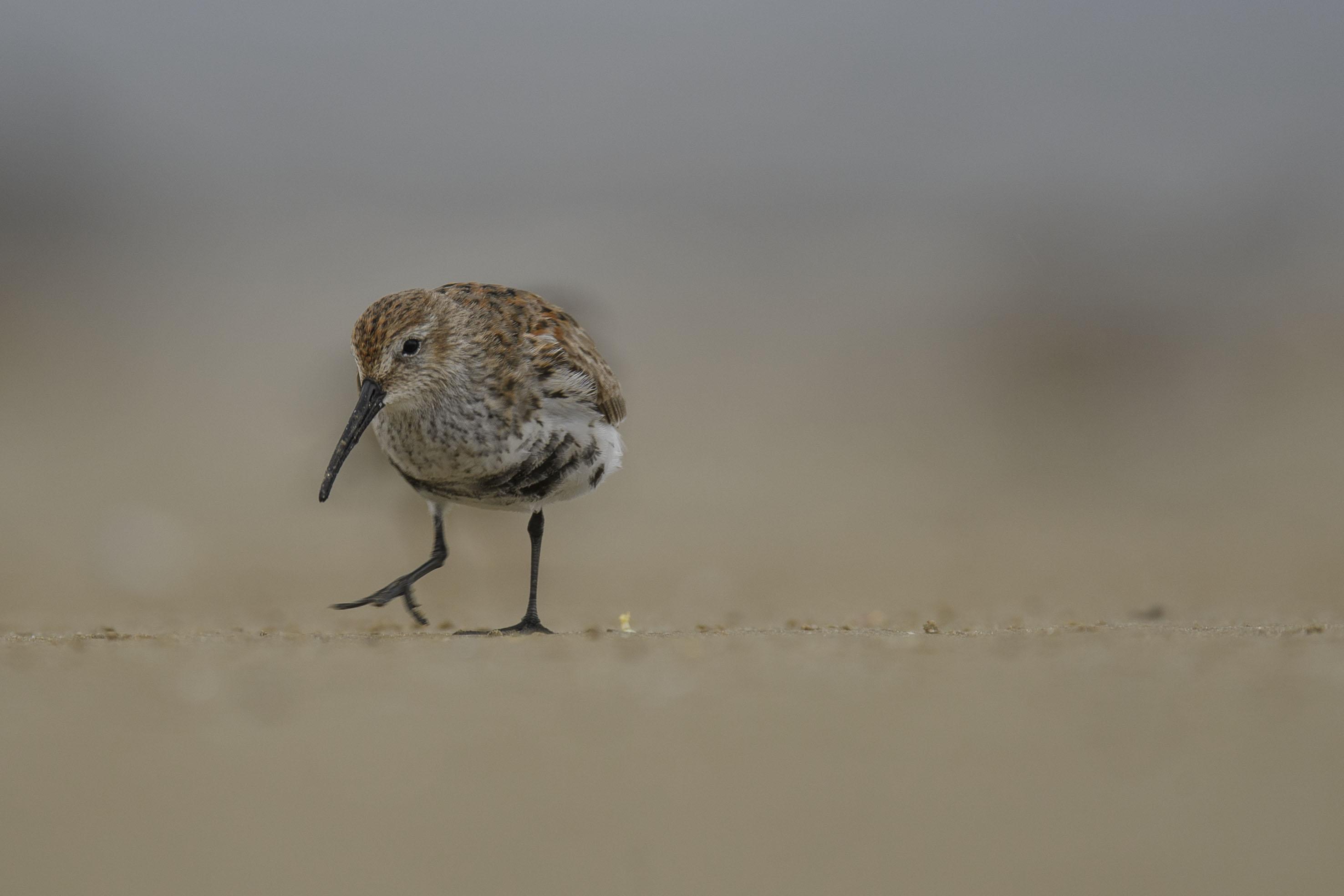 Dunlin Breeding plumage