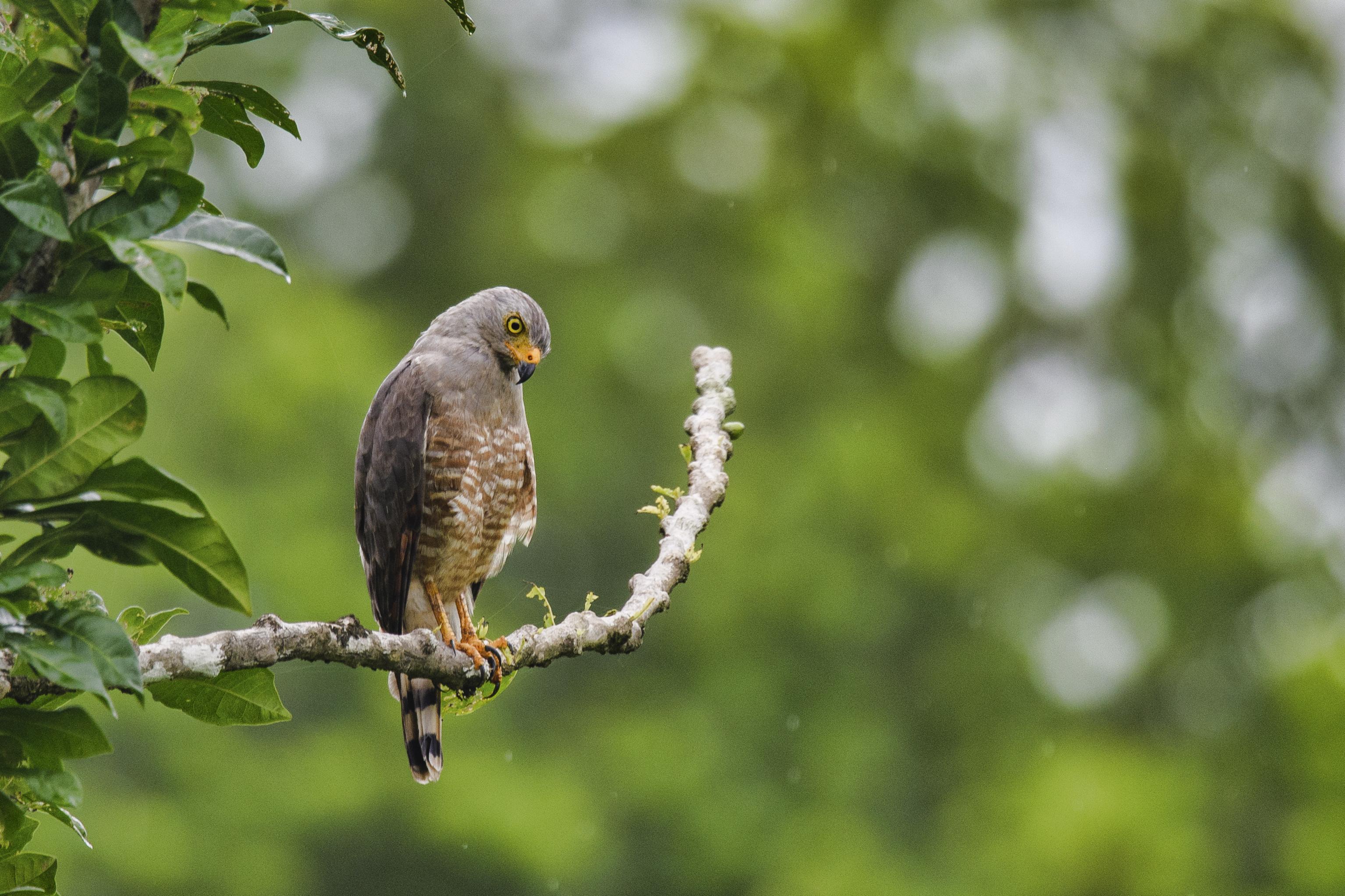 Roadside hawk in the rain.jpg
