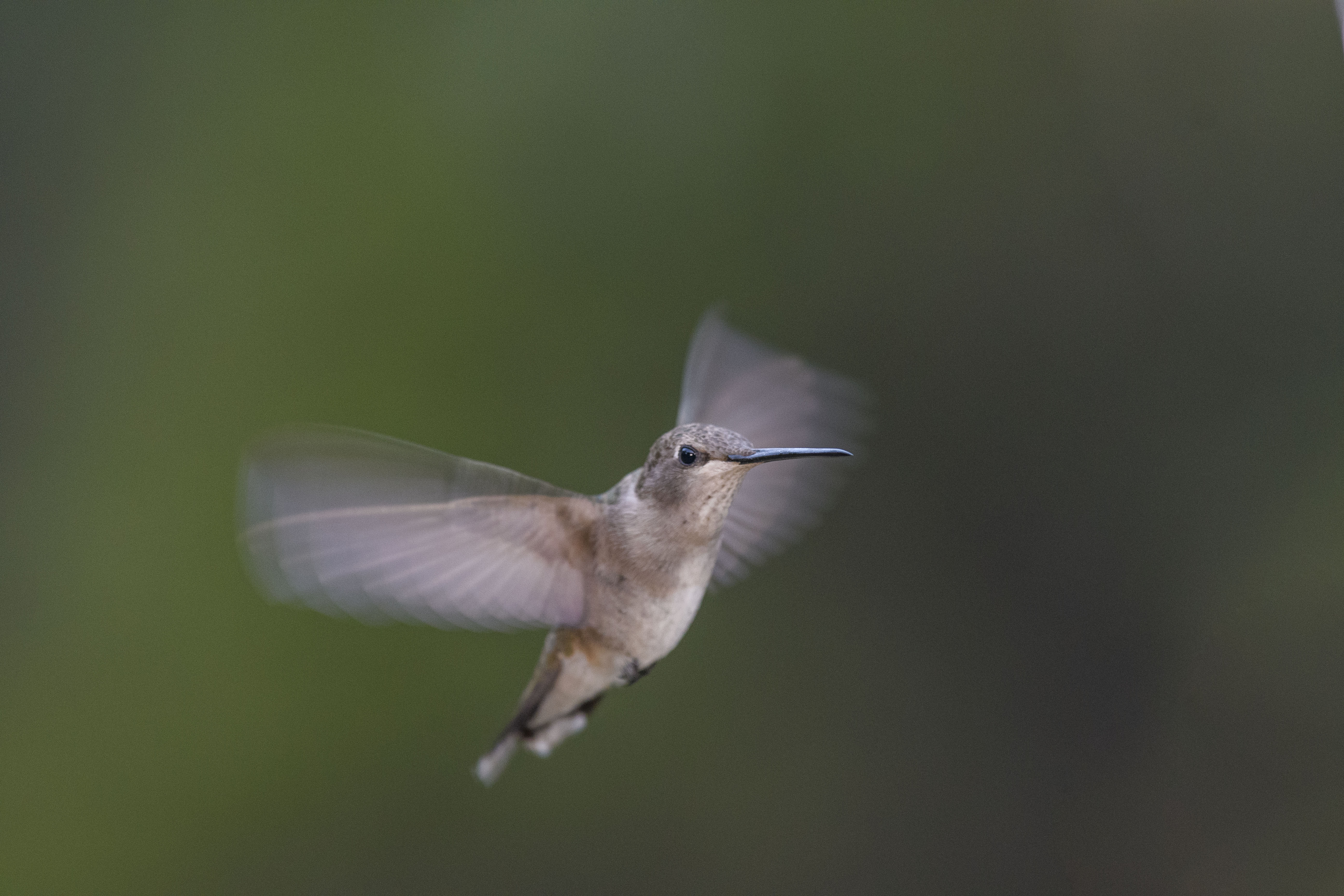 Wing Blur female black chinned.jpg