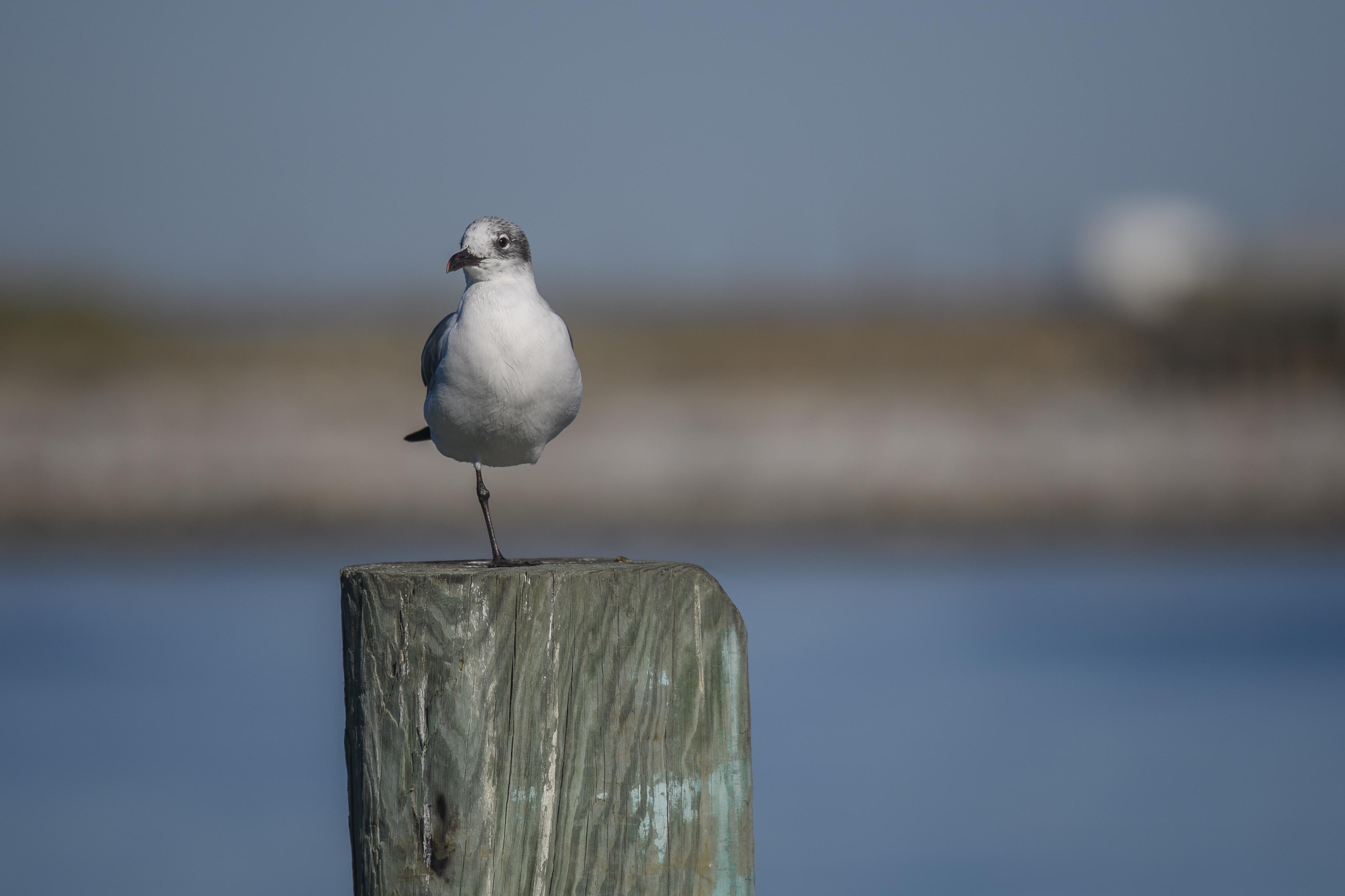 Gull Port A